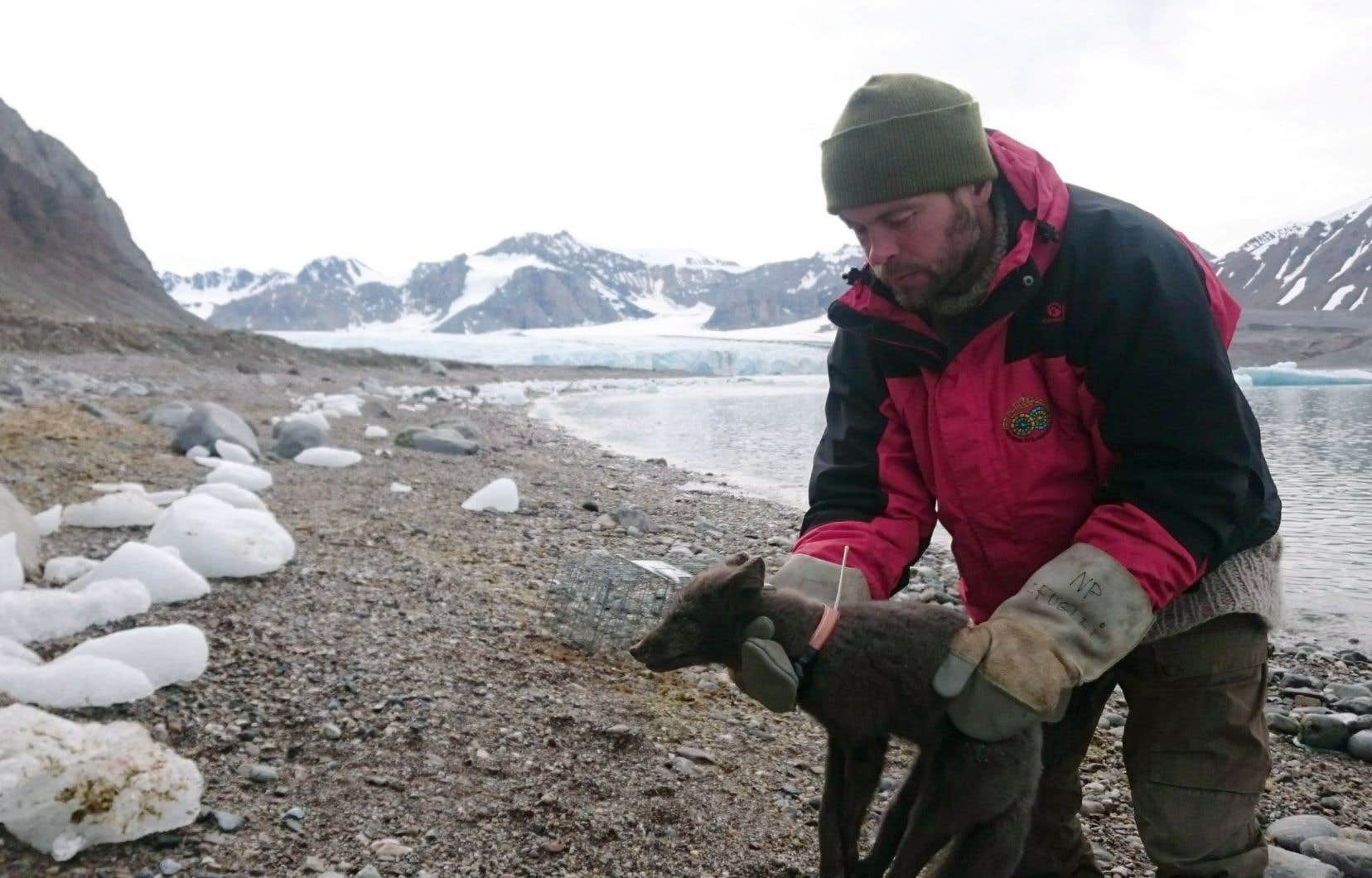 Les scientifiques del'Institut polaire norvégien ont surveillé les déplacements de la renarde à l'aide d'un émetteur satellite.