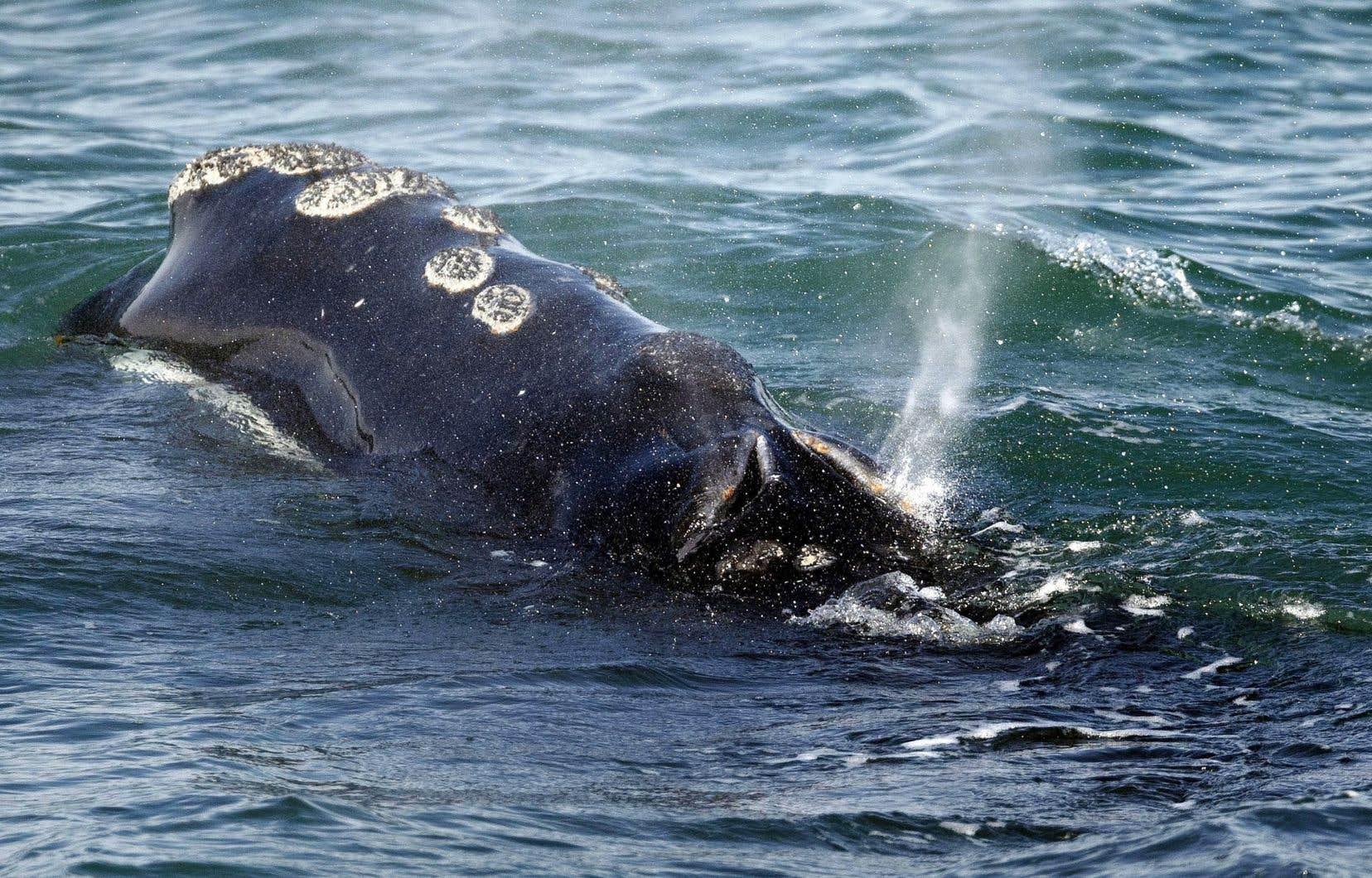 Aumoins six baleines noires de l'Atlantique Nord sont mortes dans l'est du Canada depuis le début du mois de juin.