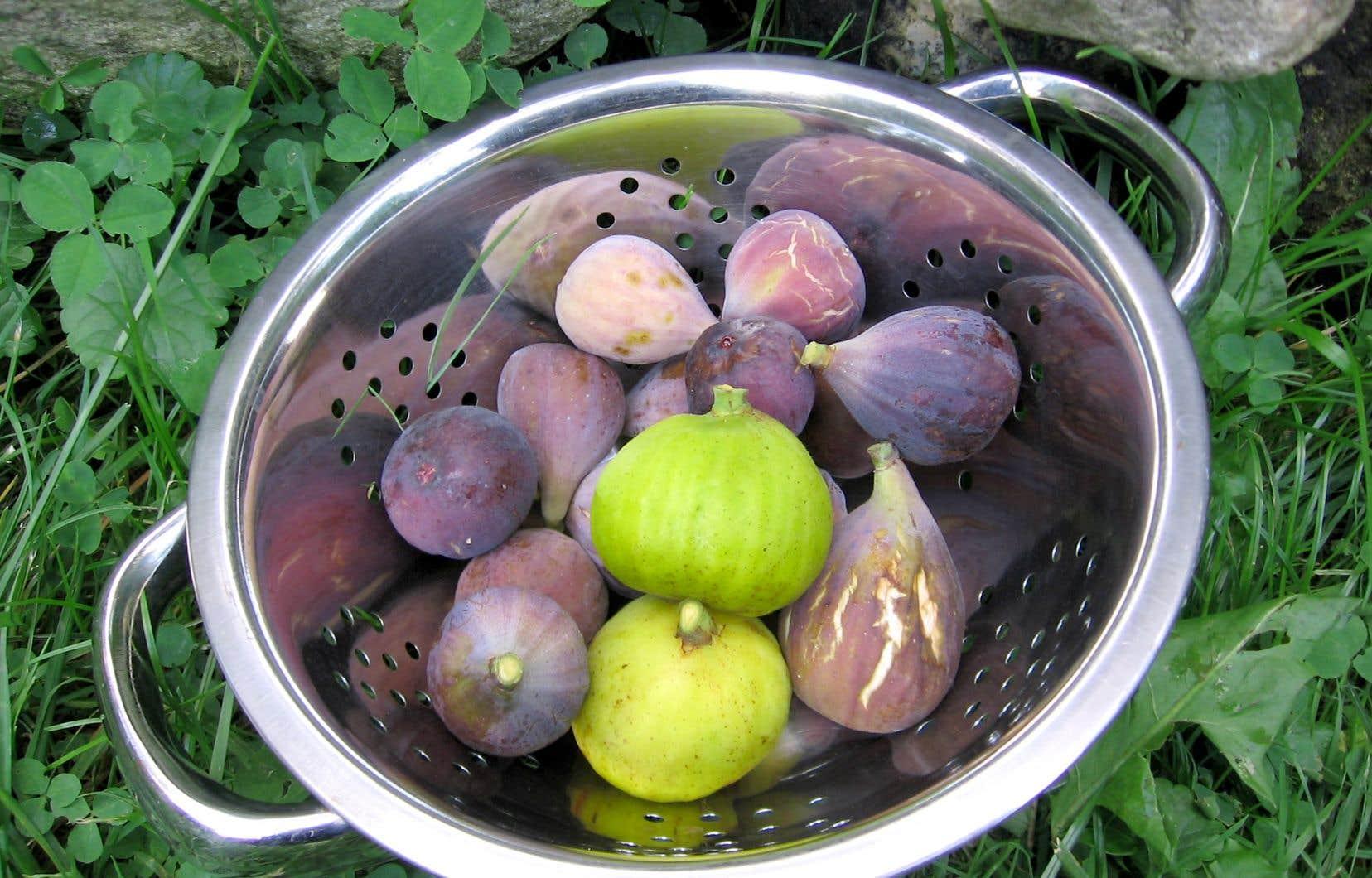 Le passionné des figues Dany Bonneau tient une trentaine de cultivars, qu'il a sélectionnés pour leur qualité gustative et leur productivité. Leur diversité étonne: on retrouve des figues noires, des brunes, des vertes, des petites, des grosses, à chair ambre, rose ou blanche, au goût sucré ou très sucré, en forme de poire ou standard.