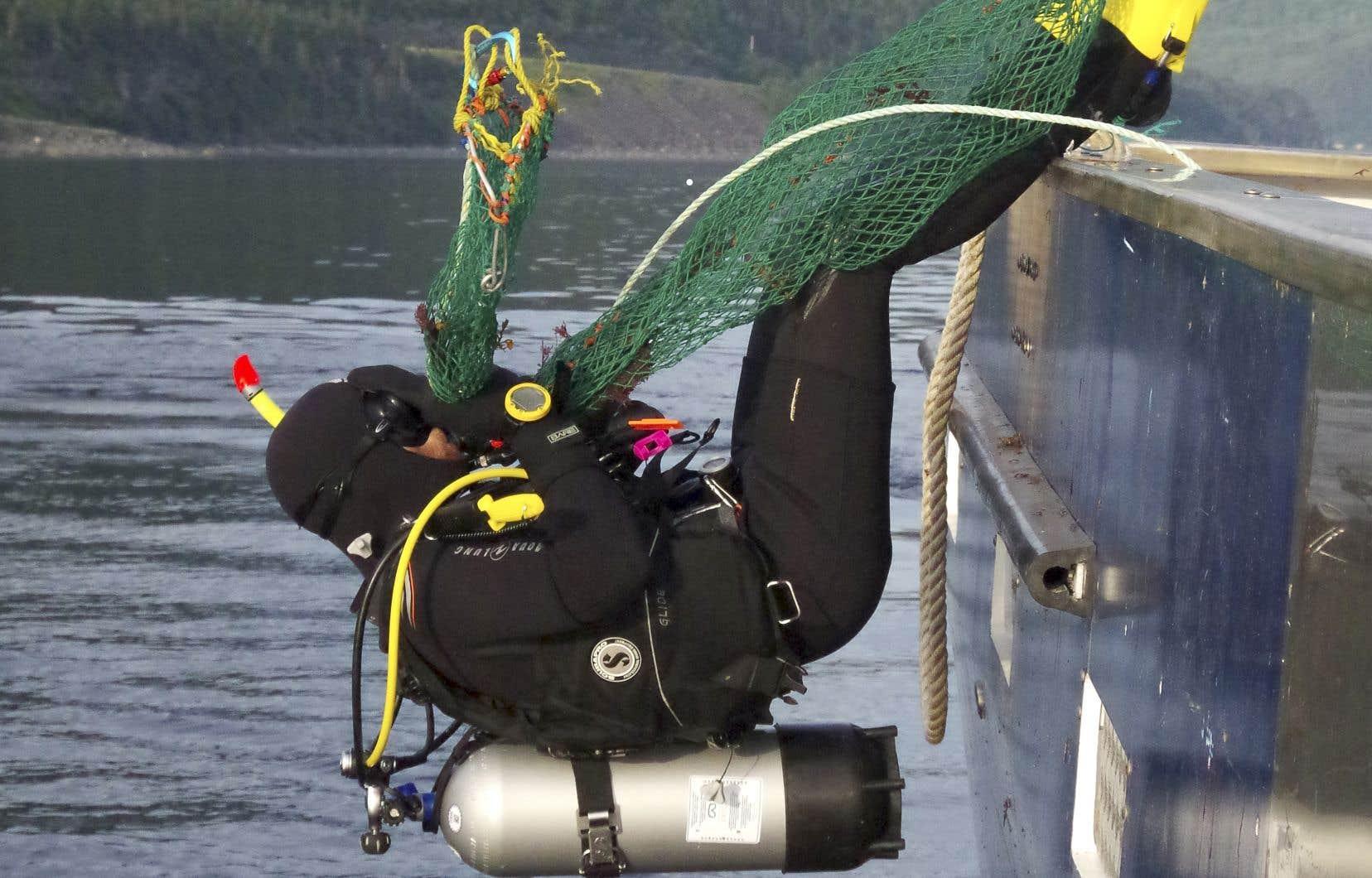 Les plongeurs descendent jusqu'à 18 m de profondeur pour ramasser de 2500 à 5000 livres d'holothuries par jour.