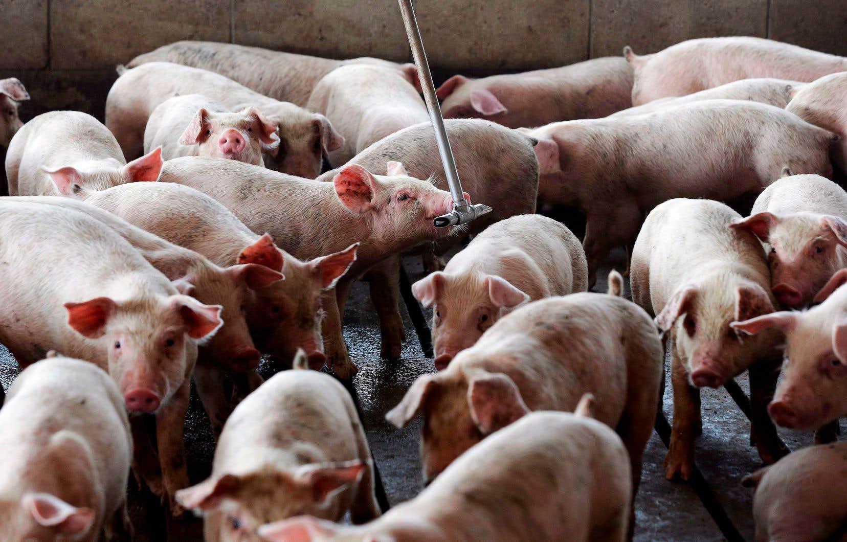 F. Ménard revendique une production annuelle oscillant autour de 1,1 million de porcs élevés dans plus de 300 fermes au Québec.