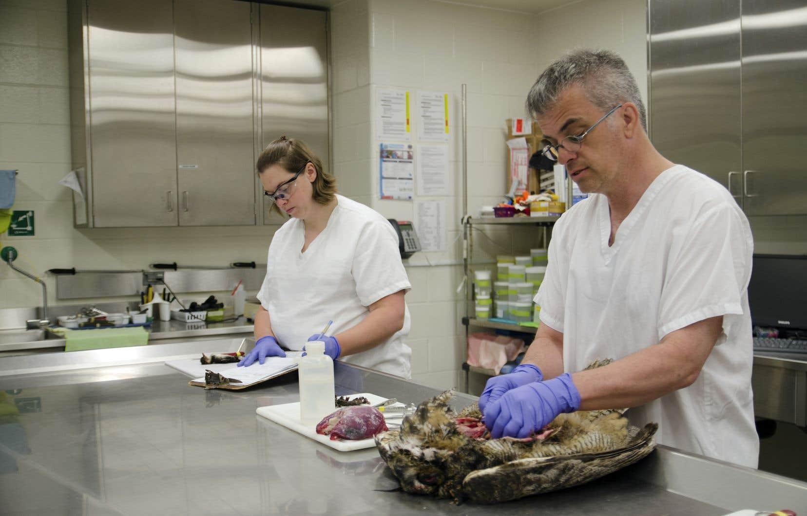 Scalpel à la main, le professeur Stéphane Lair veut déterminer la cause de la mort d'un hibou.