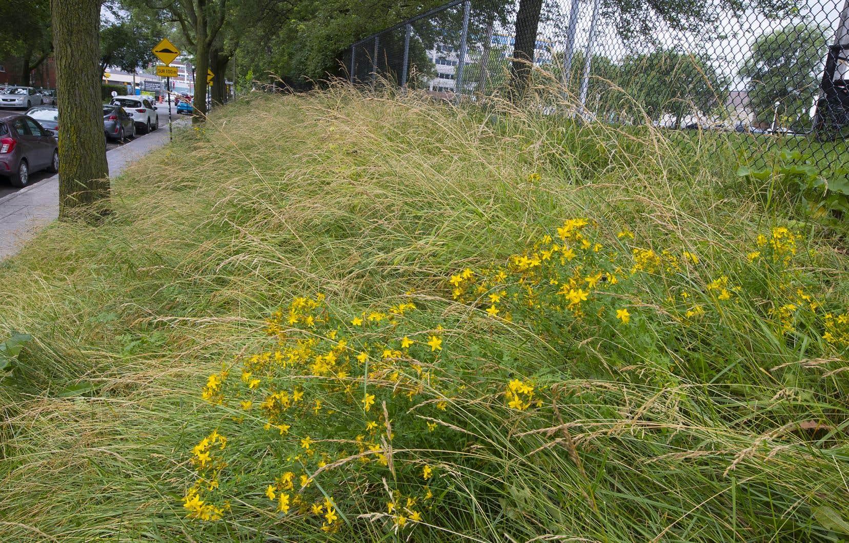 À plus long terme, la Ville de Montréal envisage d'éliminer le gazon de ses terre-pleins et de ses plates-bandes.