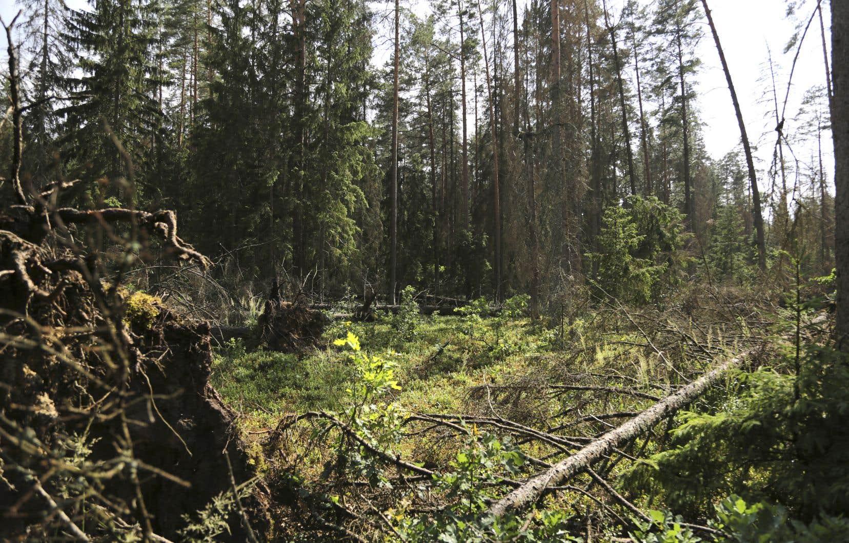 Fin mai, l'organisme des Forêts d'État de Pologne a annoncé vouloir mettre en œuvre des «actions préventives» dans la forêt Bialowieza «en raison du risque d'incendie très élevé». En clair: on pourrait donc bientôt compter le retrait de plus de 800000 arbres morts dans la zone végétale de 150000 hectares, même si l'Union européenne a ordonné la fin des coupes en 2017.