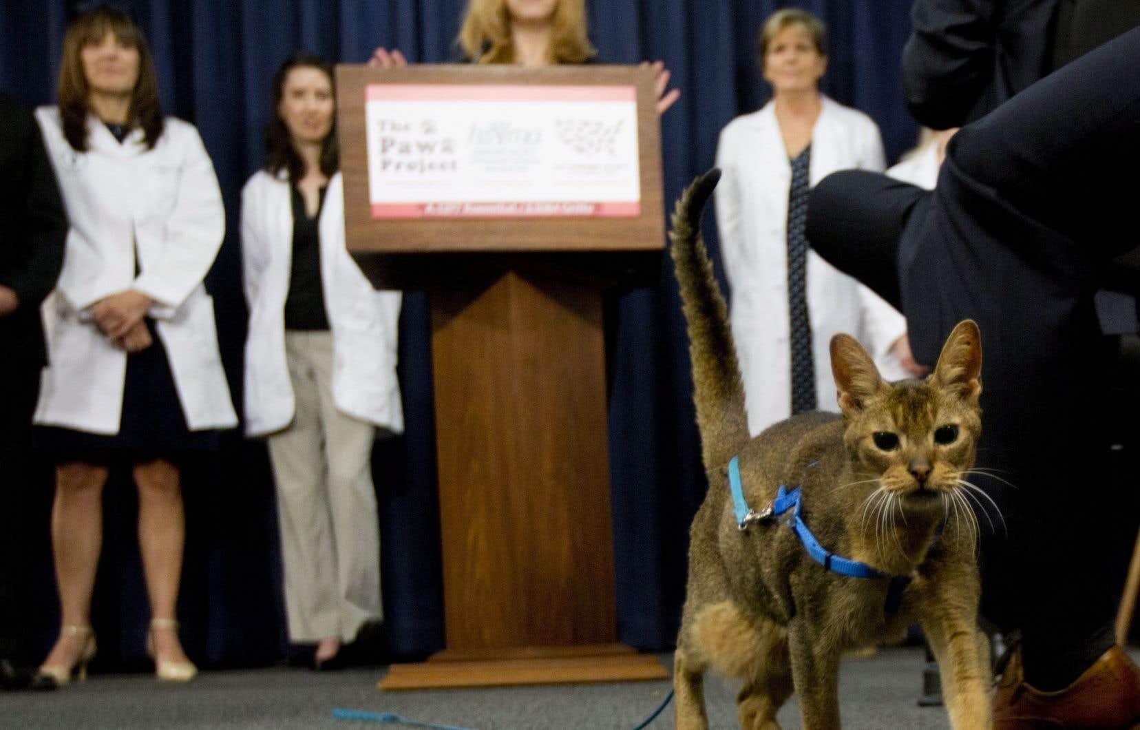 Un chat nommé Rubio marche devant le podium lors d'une conférence de presse à Albany. New York devient le premier État des États-Unis à interdire le dégriffage des chats.