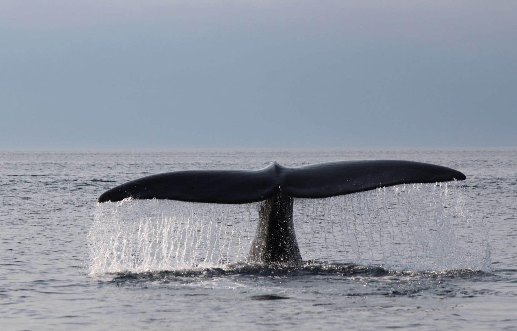 Cette année, huit baleines noires ont été retrouvées mortes dans les eaux canadiennes, sur une population estimée à environ 400.