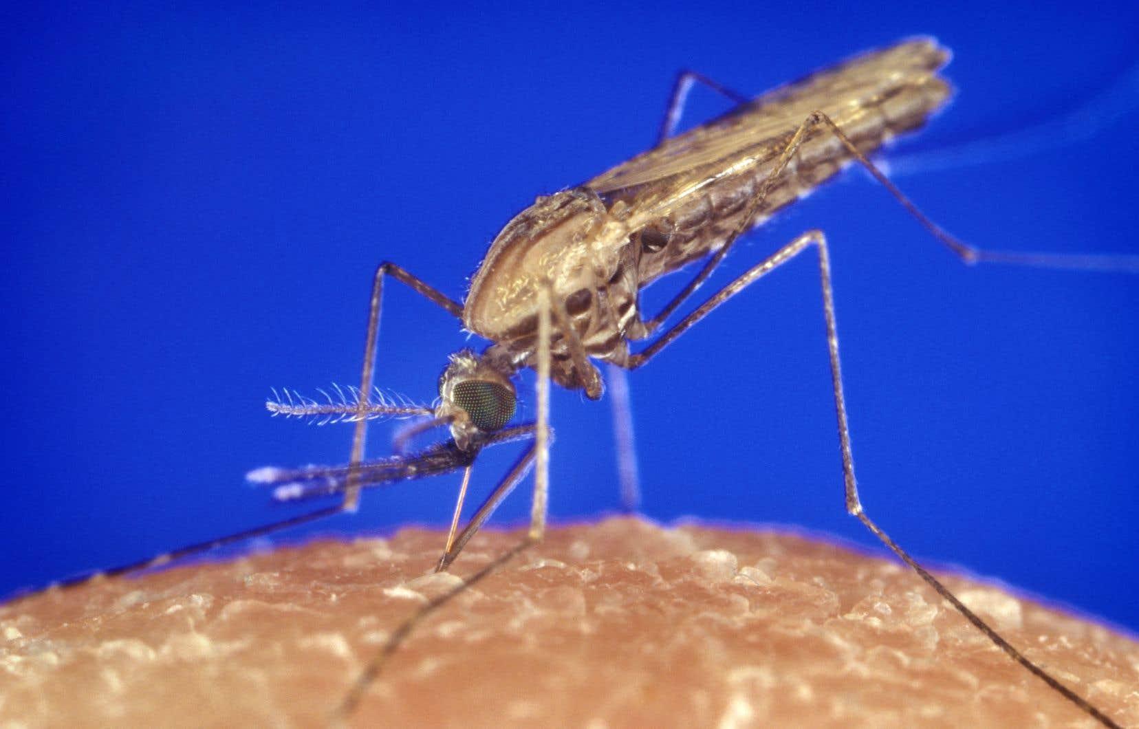 Une population entière d'«Anopheles gambiae», ce moustique porteur de la malaria, a pu être décimée en laboratoire par forçage génétique.
