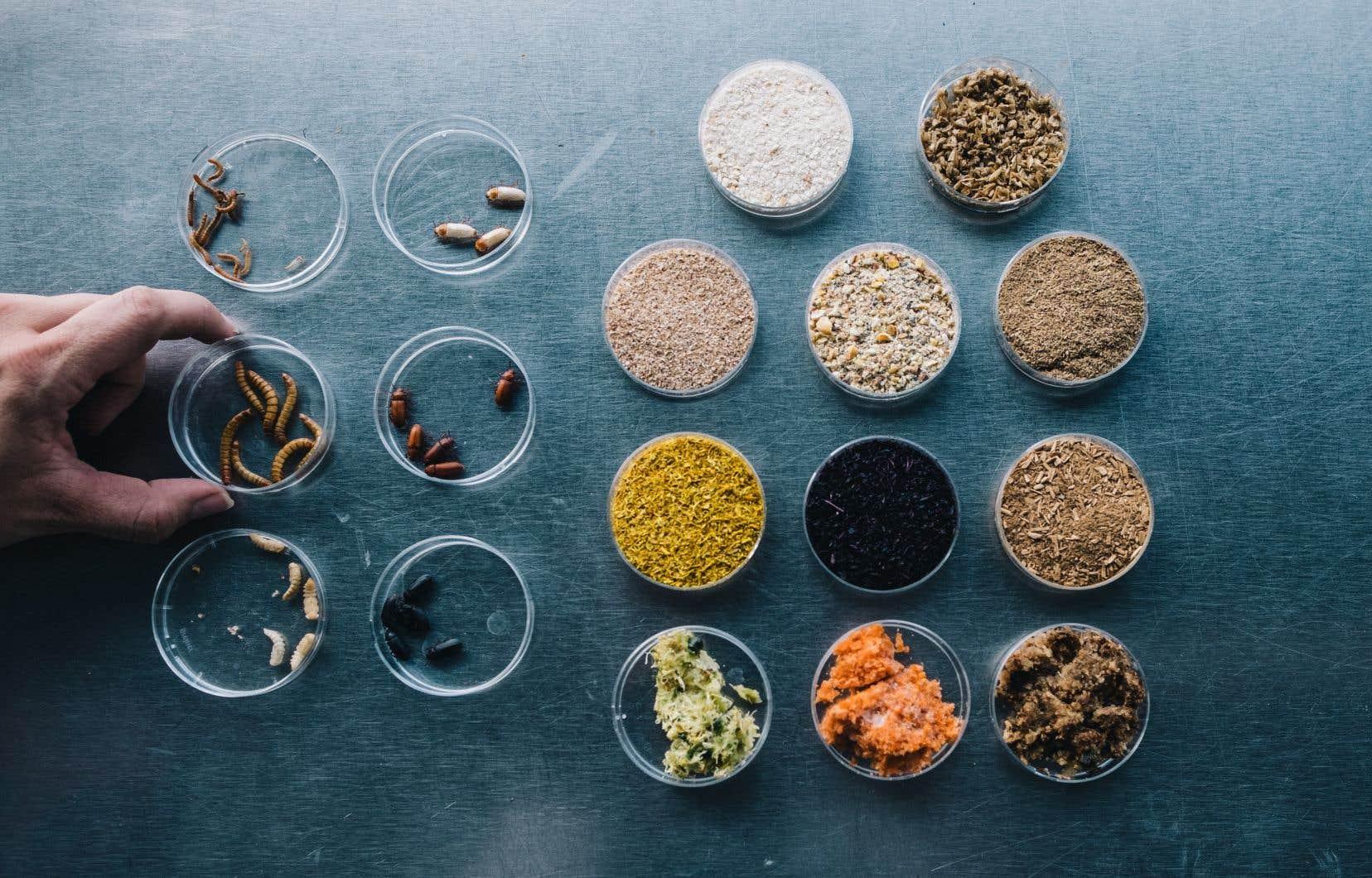 Manger des insectes, «c'est plus écologique que la production de viande».
