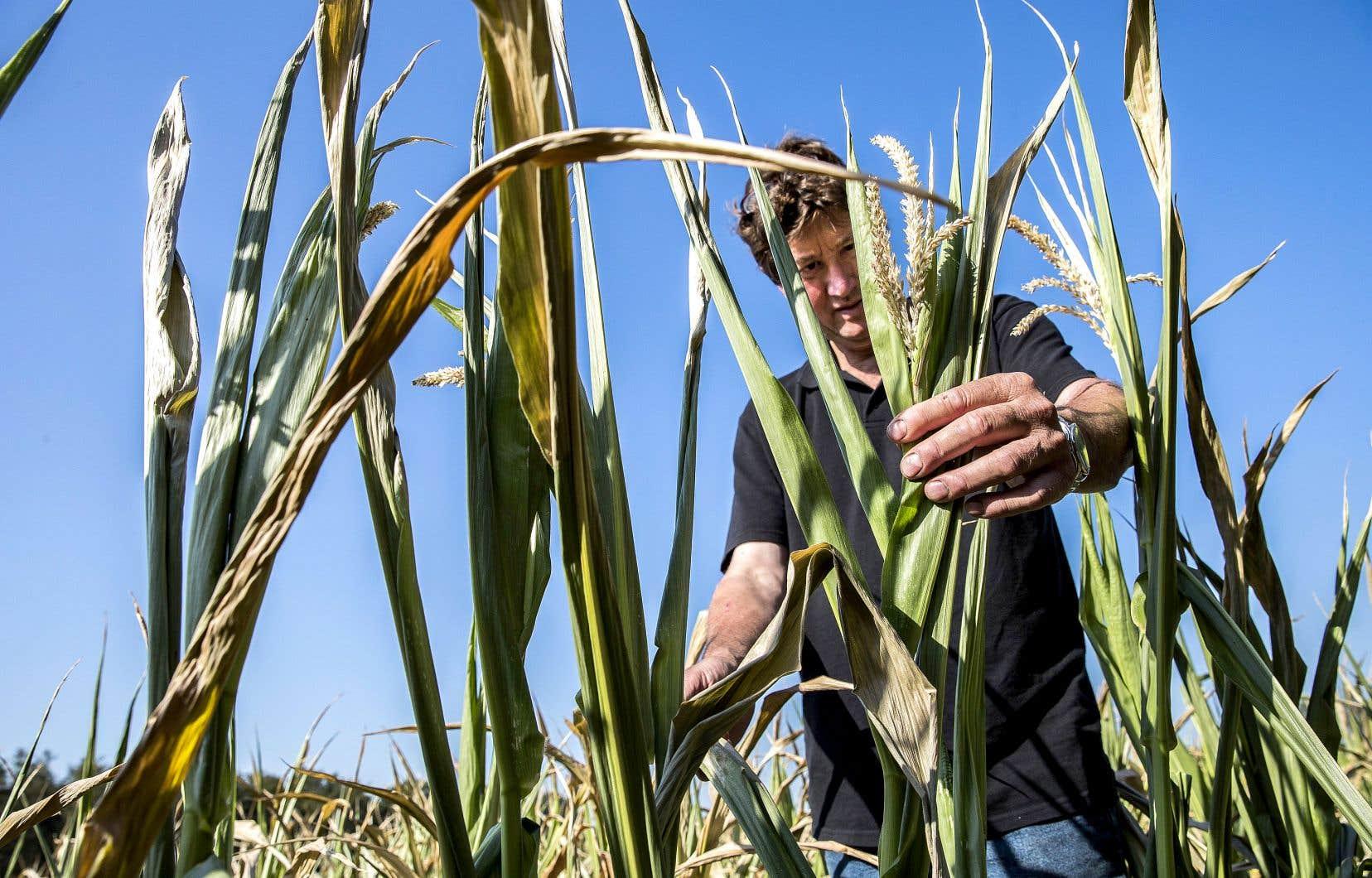 Les champs de blé de Bert Sloetjes, aux Pays-Bas, ont souffert de la sécheresse en juillet. Des températures record de 40,4°C ont frappé le sud de ce pays le mois dernier.