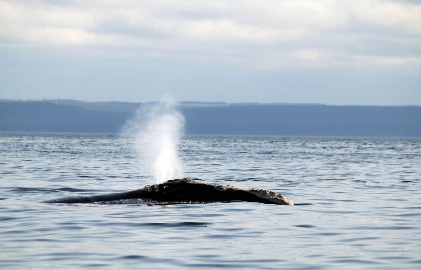 La population mondiale de baleines noires s'élève à environ 400 individus.