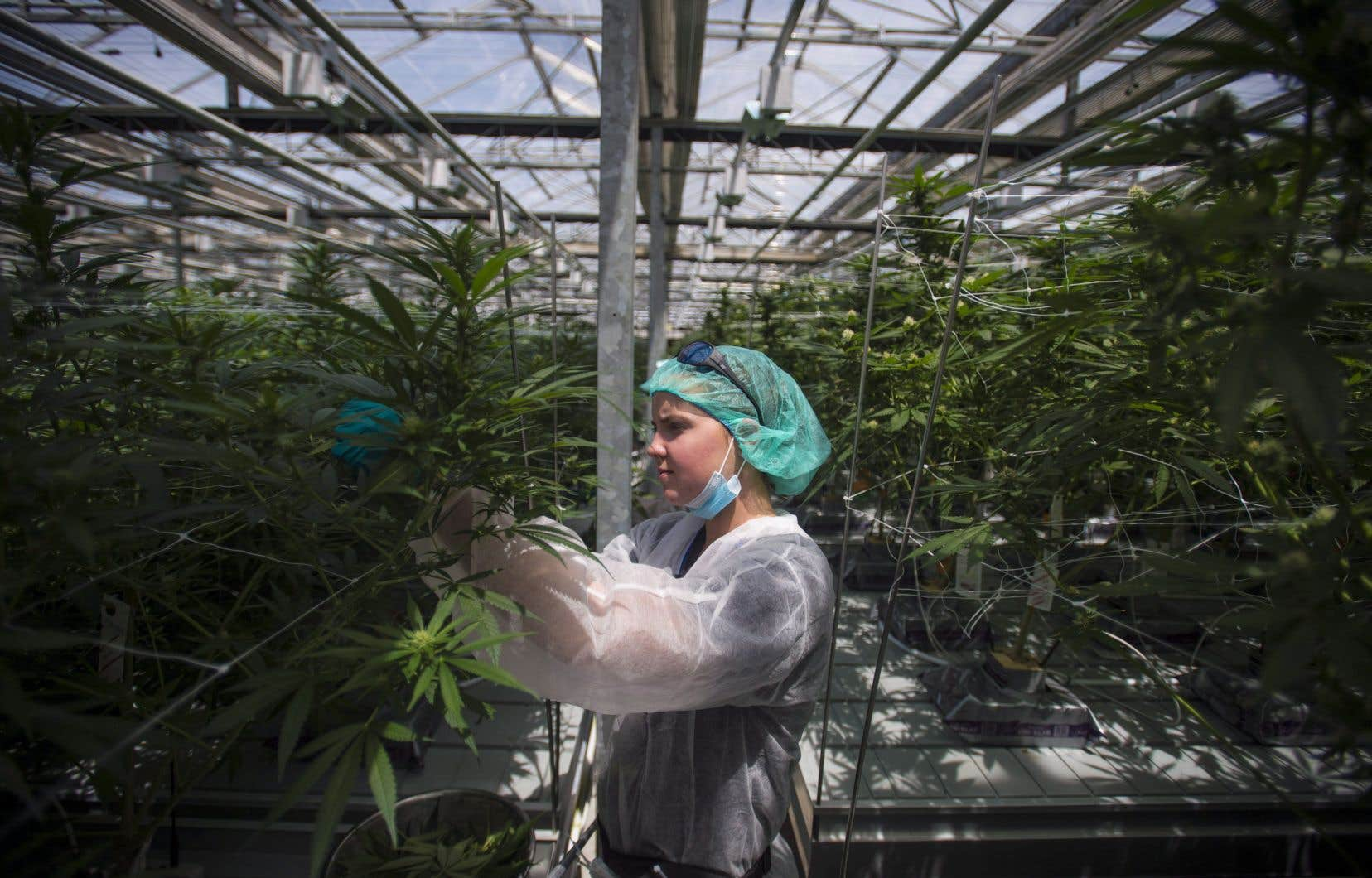 CannTrust avait déjà volontairement cessé la vente et l'expédition de tous les produits à base de cannabis en provenance de ses installations pendant que Santé Canada examinait ses installations à Vaughan.
