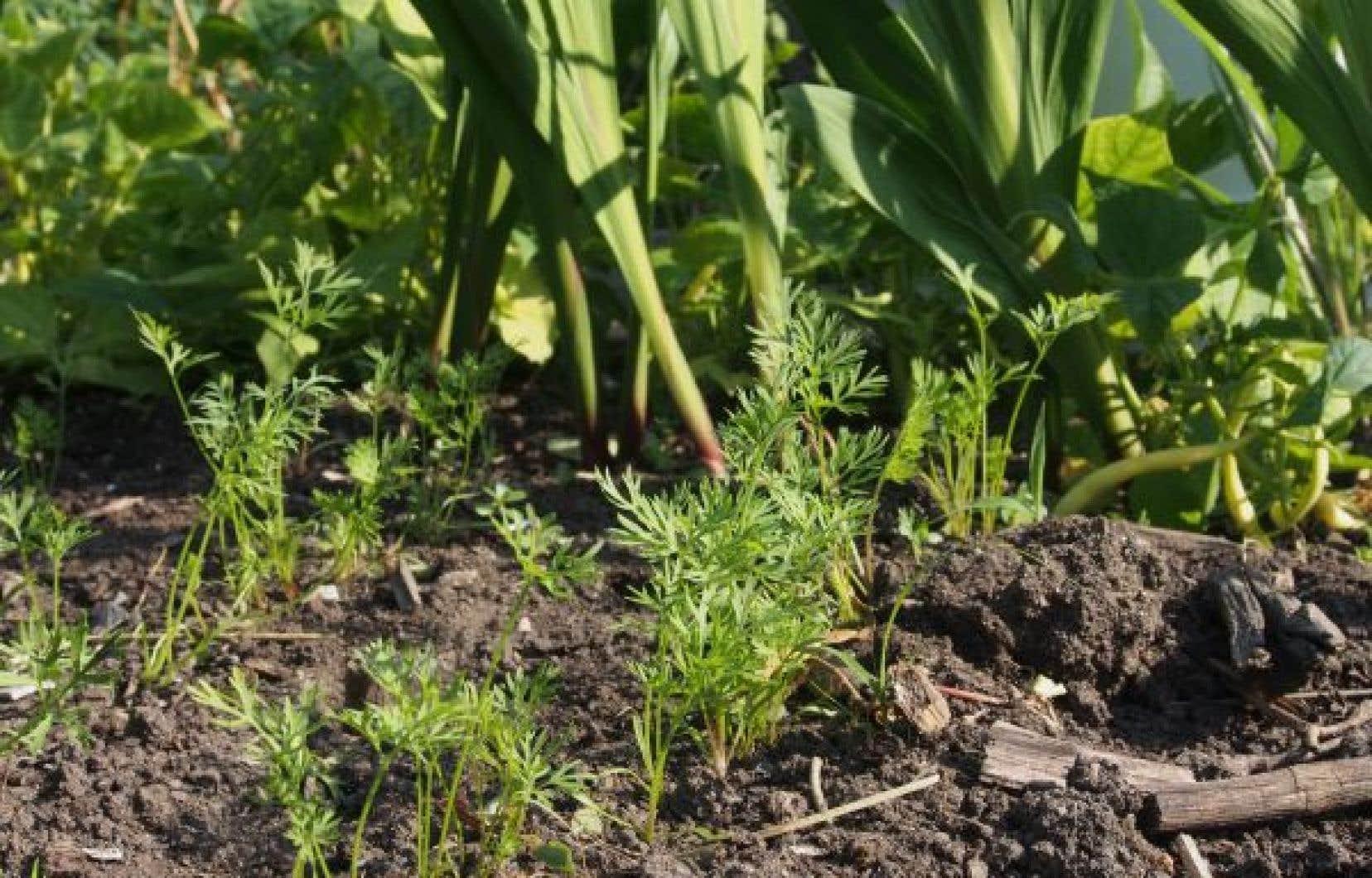 On peut toujours semer, même en septembre. Les carottes, par exemple, deviennent plus sucrées avec les temps plus froids.