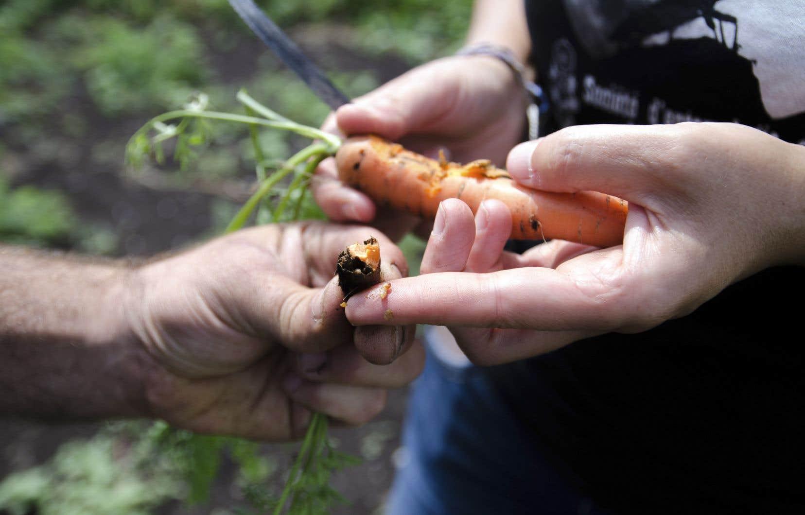 Des cavités noires gangrènent la partie supérieure d'une carotte. C'est l'œuvre d'une larve de charançon.