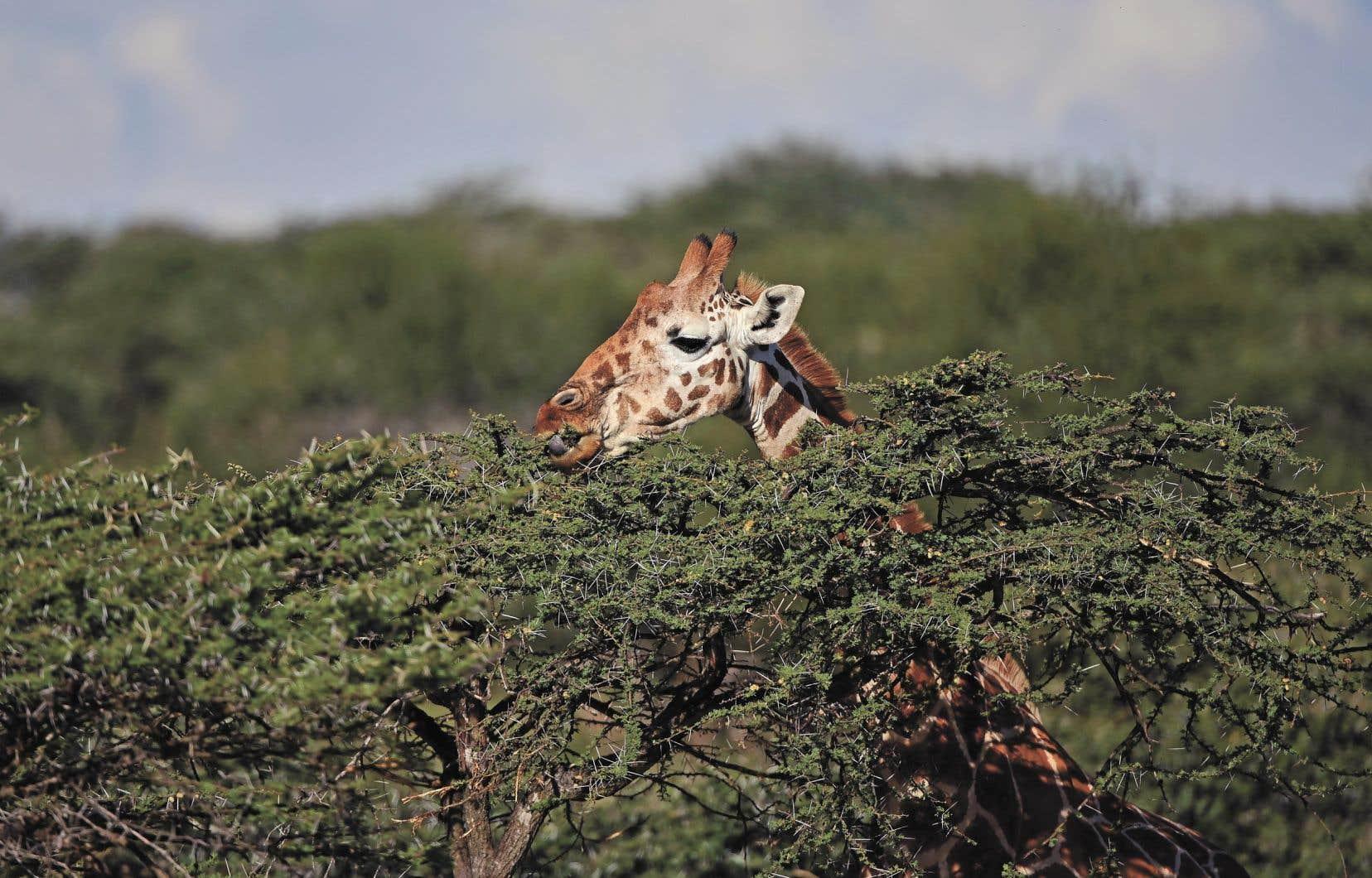 La girafe réticulée, une sous-espèce vivant dans la région de Laikipia, au Kenya, se fait de plus en plus rare.