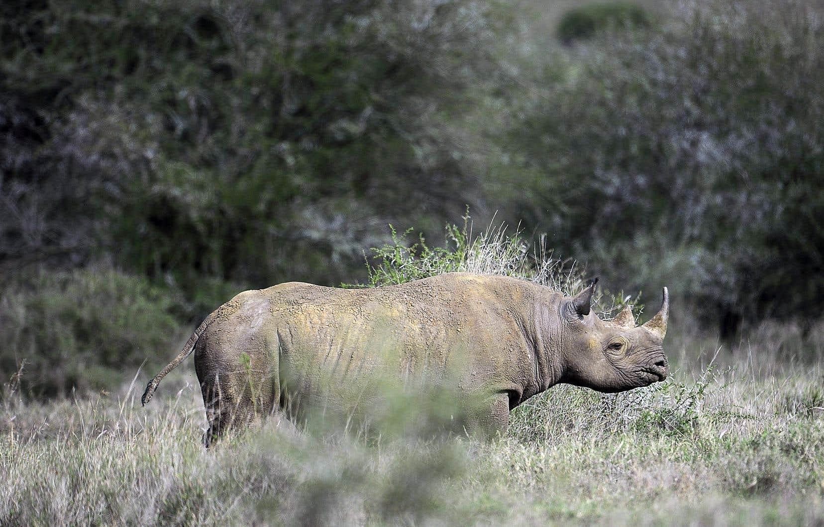 Un grand nombre d'espèces sont convoitées par les chasseurs, dont les éléphants, les rhinocéros noirs (sur la photo) et blancs, les girafes, les crocodiles, les perroquets gris, les guépards, mais aussi les primates, comme les chimpanzés.