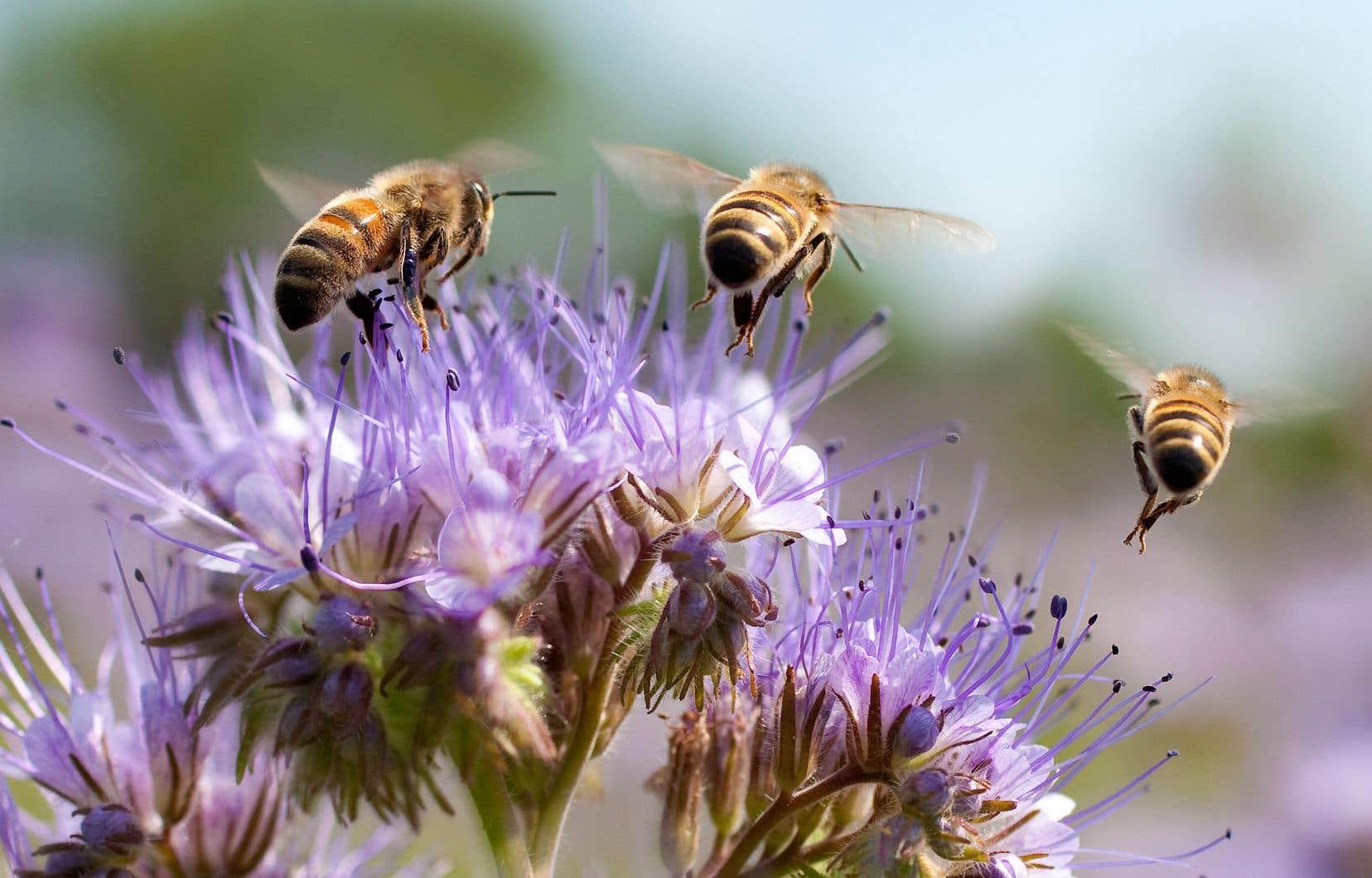 En raison des allergies d'une partie de la population au venin d'abeille, la présence de ruches en ville représente un enjeu de santé publique important qui requiert une grande prudence.