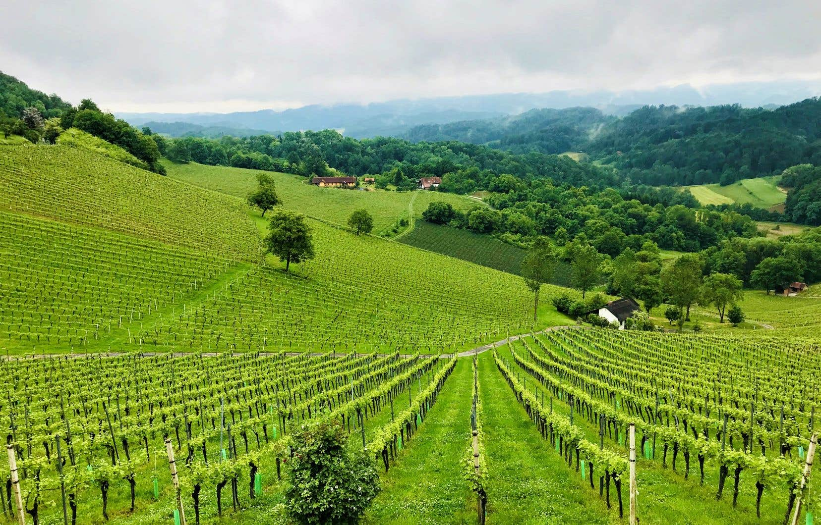 Des sauvignons blancs d'exception  au vignoble Tement  en Styrie  avec,  au loin,   la frontière Slovène
