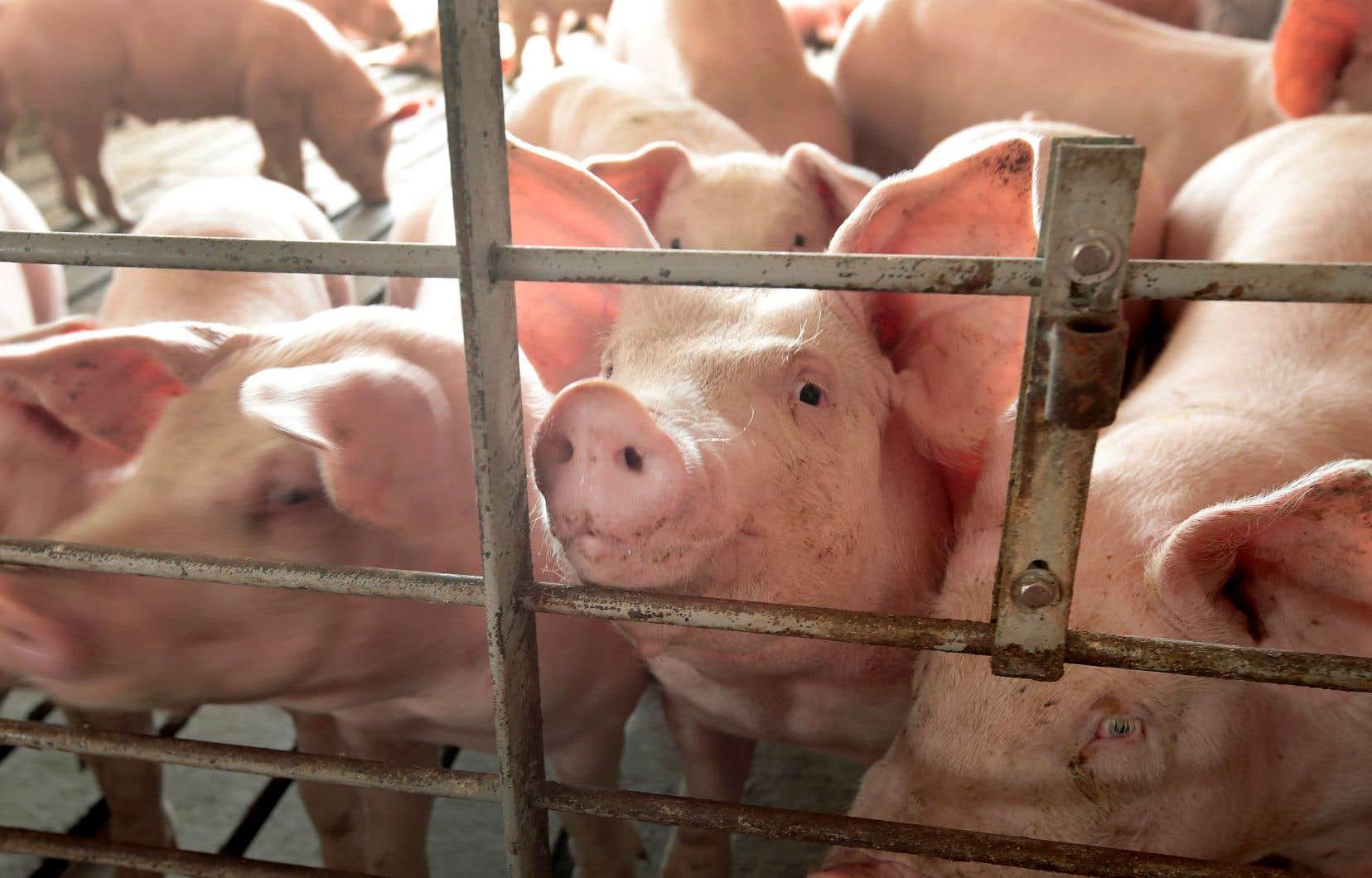 La décision de Pékin de rétablir l'accès au soya américain, peu coûteux, aiderait également les éleveurs de porcs chinois qui utilisent le soya comme aliment pour le bétail.