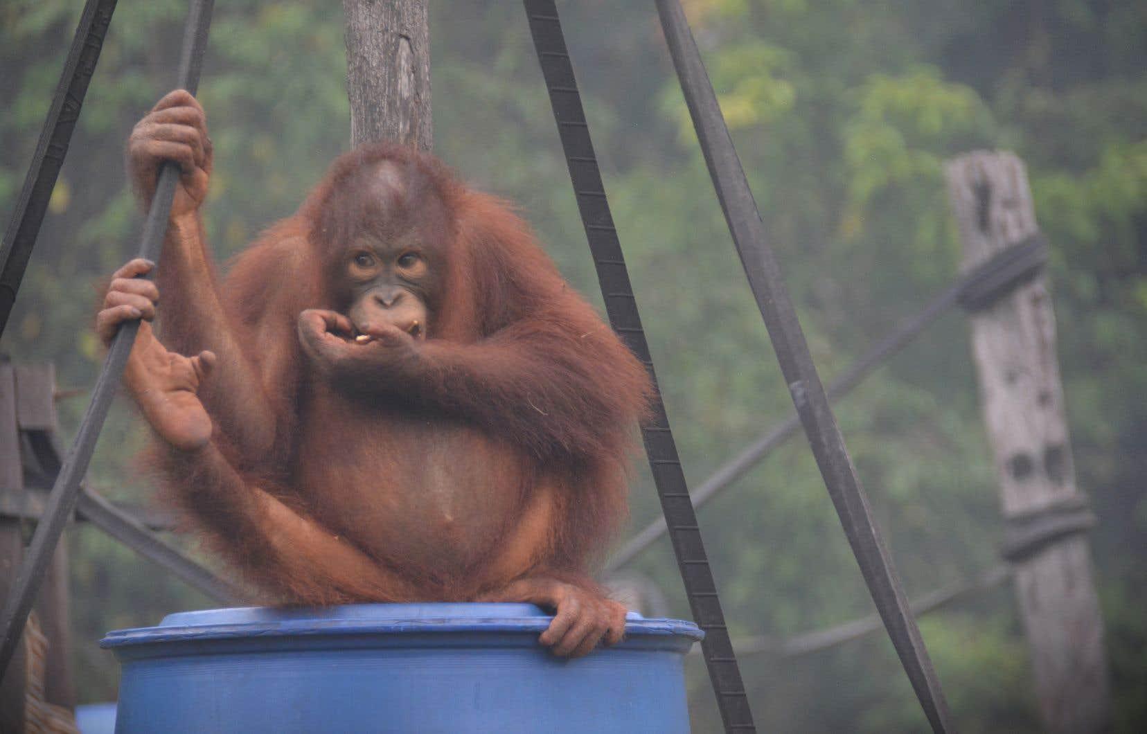 La fumée menace aussi la santé de plusieurs centaines de primates des centres de soin de la fondation Borneo Orangutan Survival (BOS).