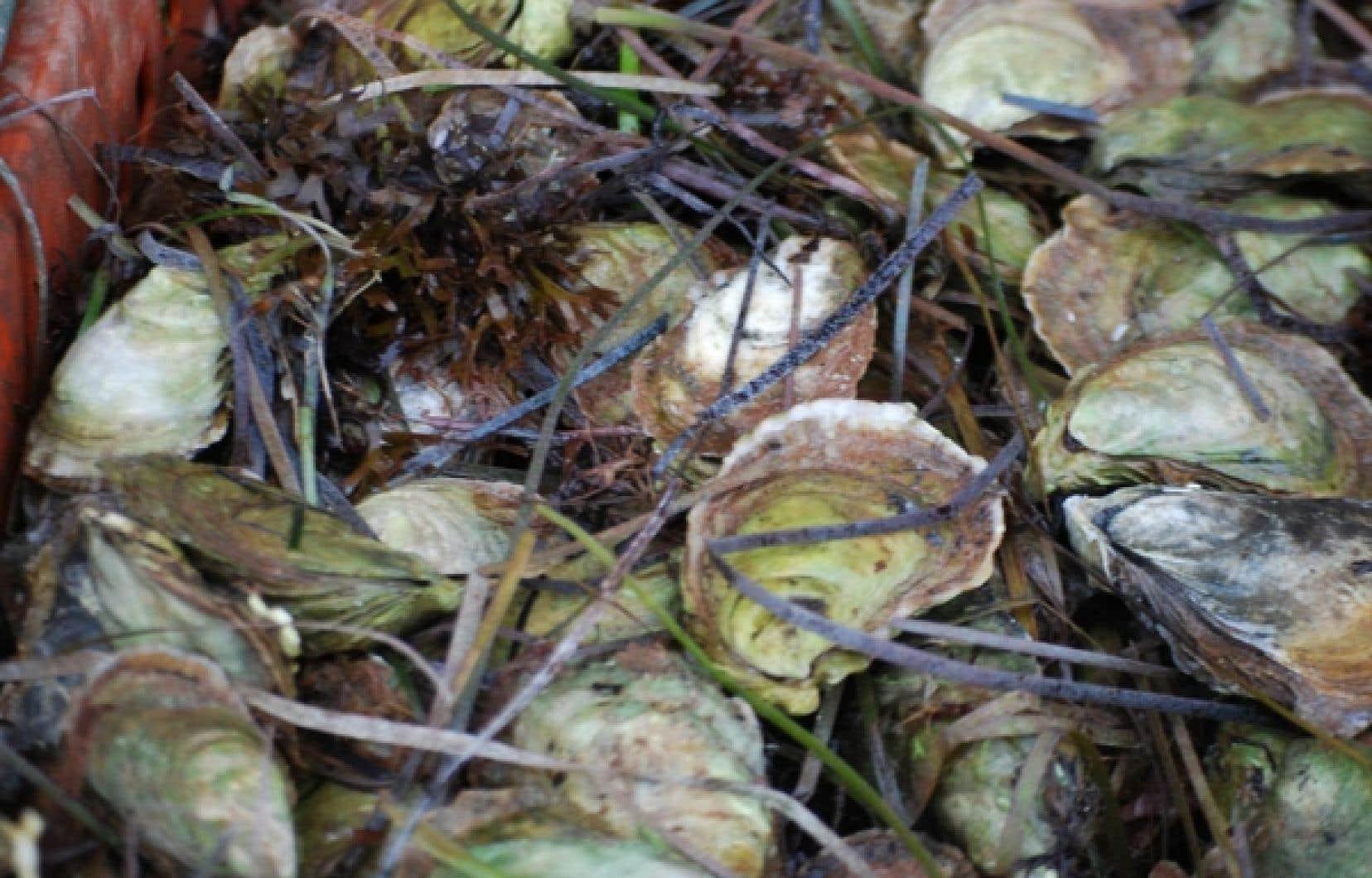 Les huîtres de la baie de Colville sont particulièrement goûteuses. Elles sont cultivées en eau claire et ramassées de façon traditionnelle, au râteau.<br />