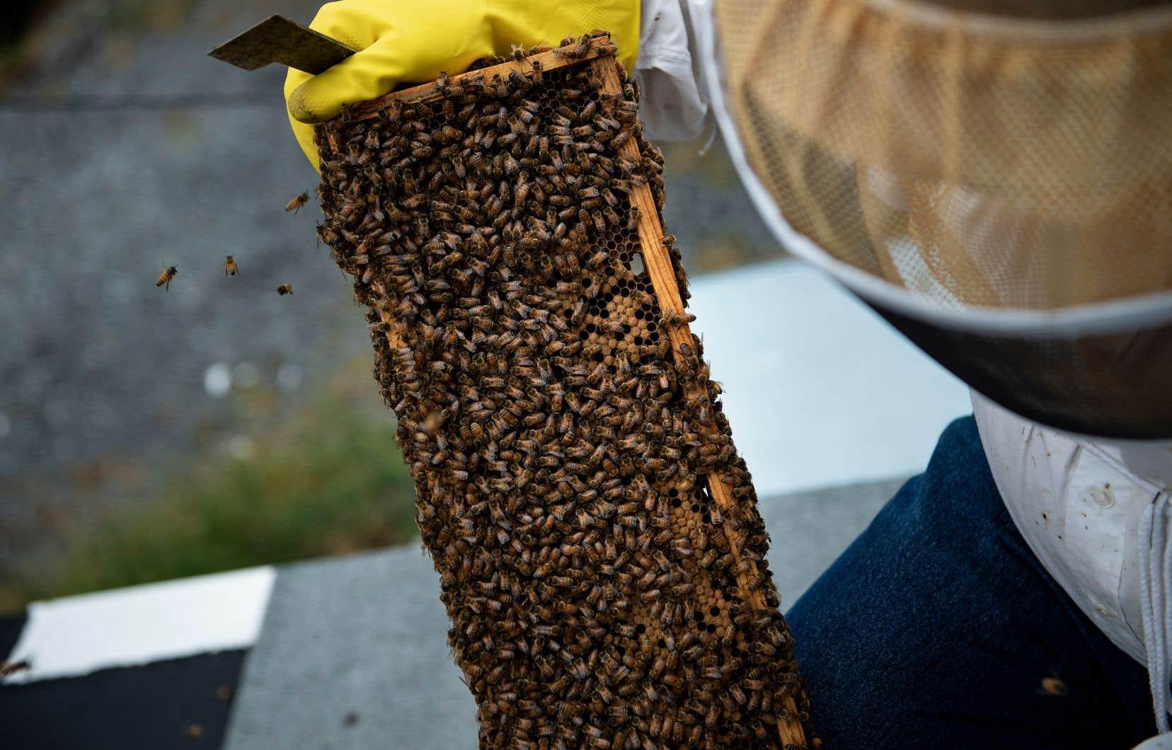 Préoccupés par la mort de leurs abeilles, les apiculteurs québécois veulent moins de produits toxiques dans les champs.