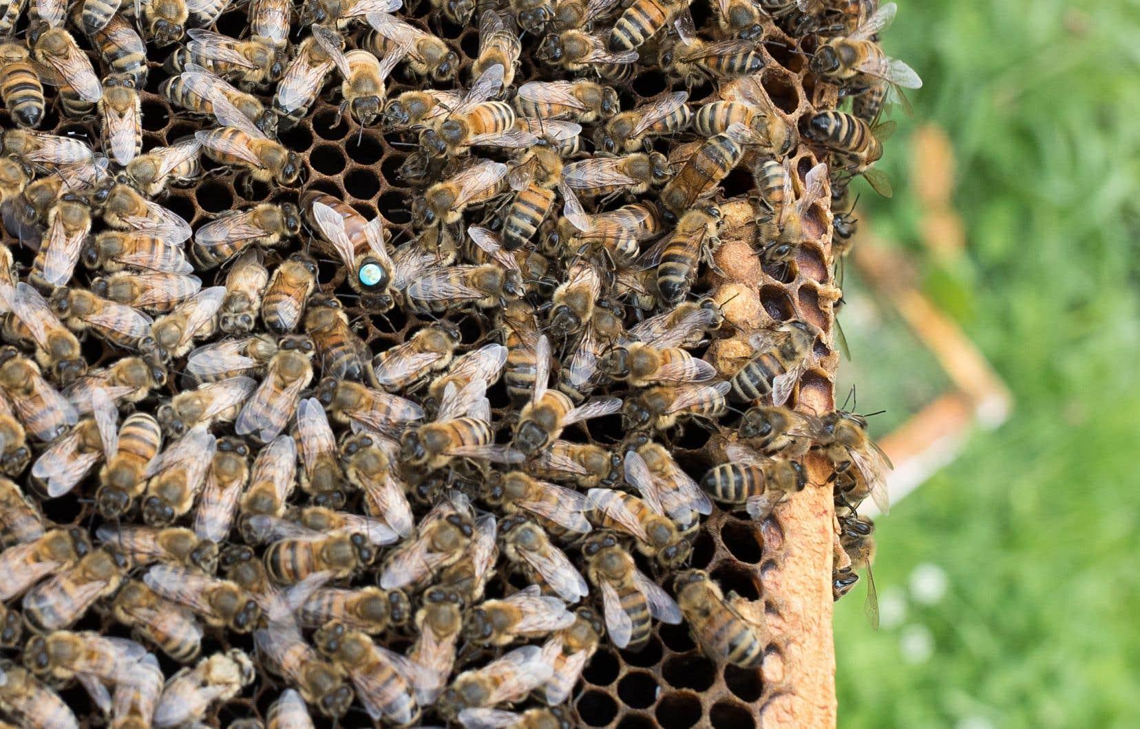 Les Apiculteurs et apicultrices du Québec critiquent l'utilisation systémique de néonicotinoïdes, qui menace les pollinisateurs.