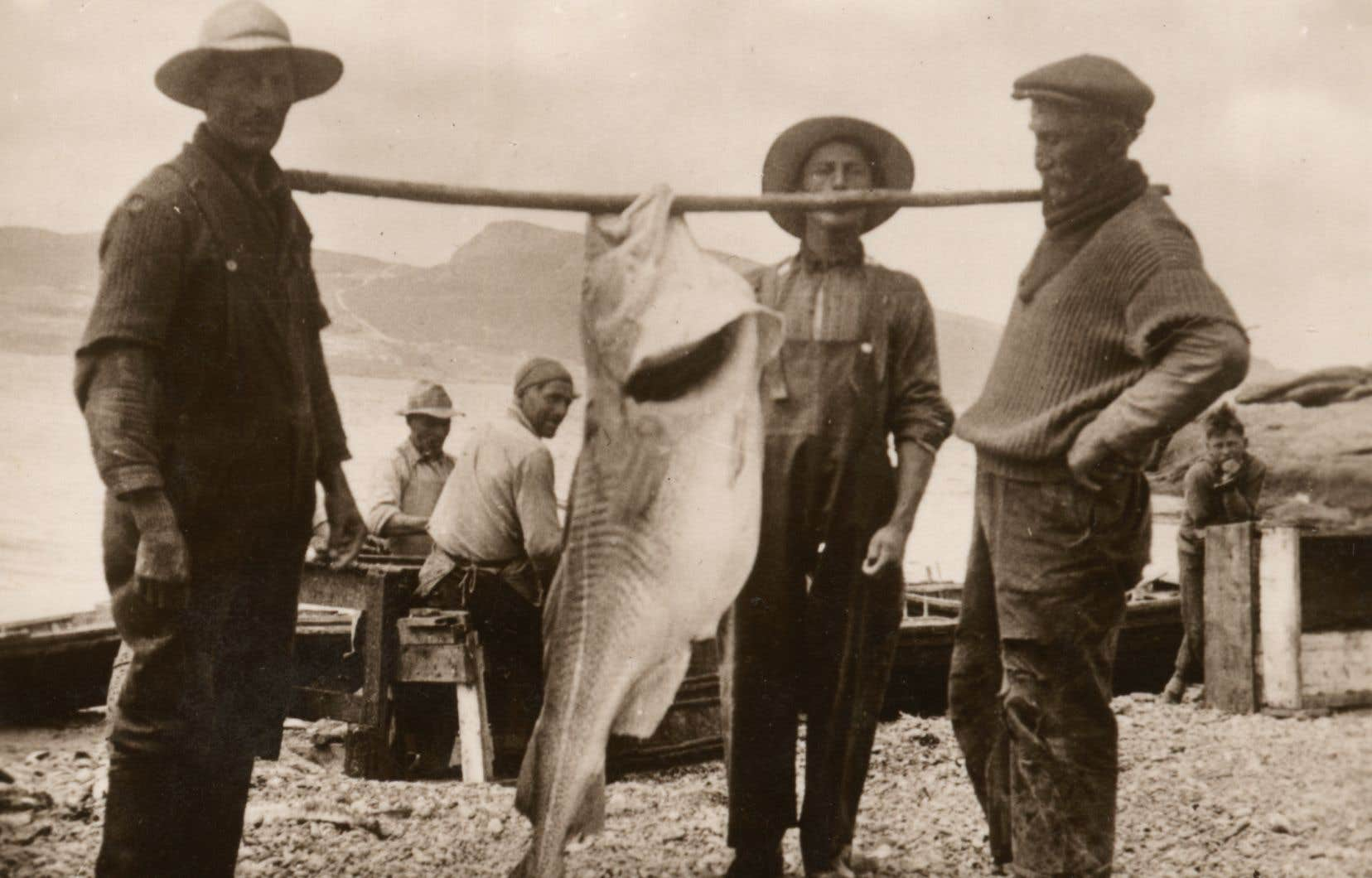 Une morue de 75 livres de l'île Bonaventure tenue avec une perchepar deux pêcheurs.
