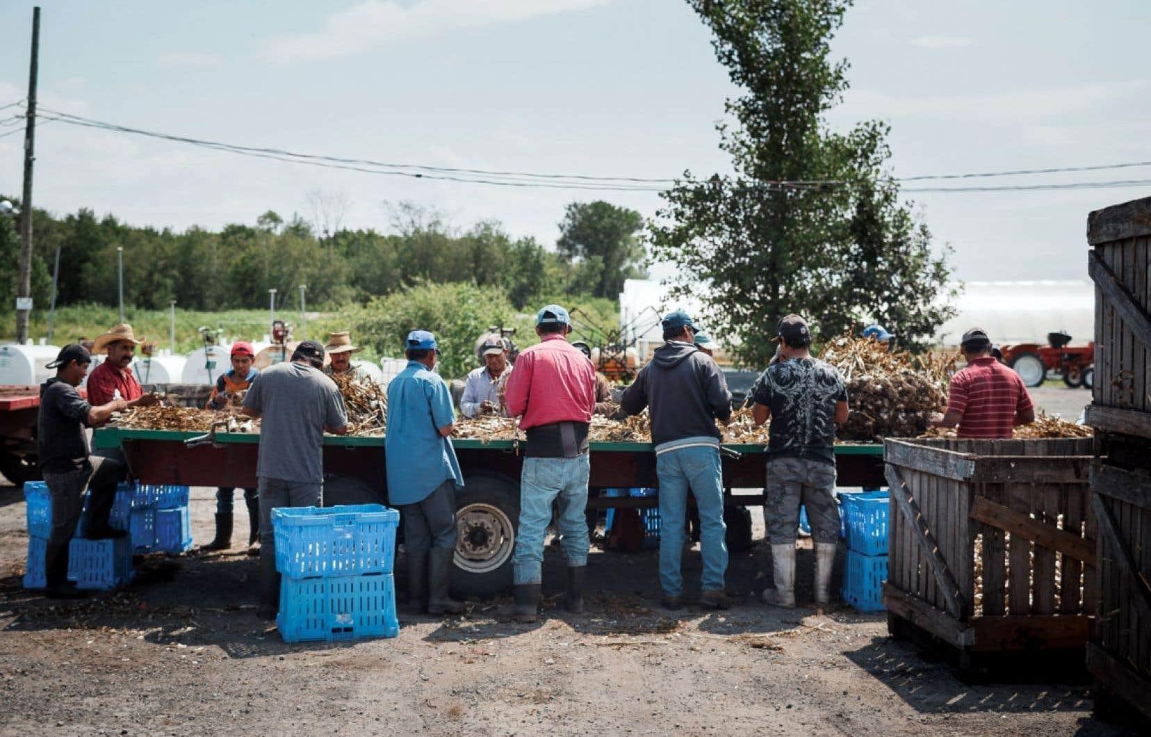 Les 11 travailleurs agricoles guatémaltèques étaient venus au Québec dans le cadre du Programme des travailleurs étrangers temporaires afin de travailler dans le secteur de l'agroalimentaire.