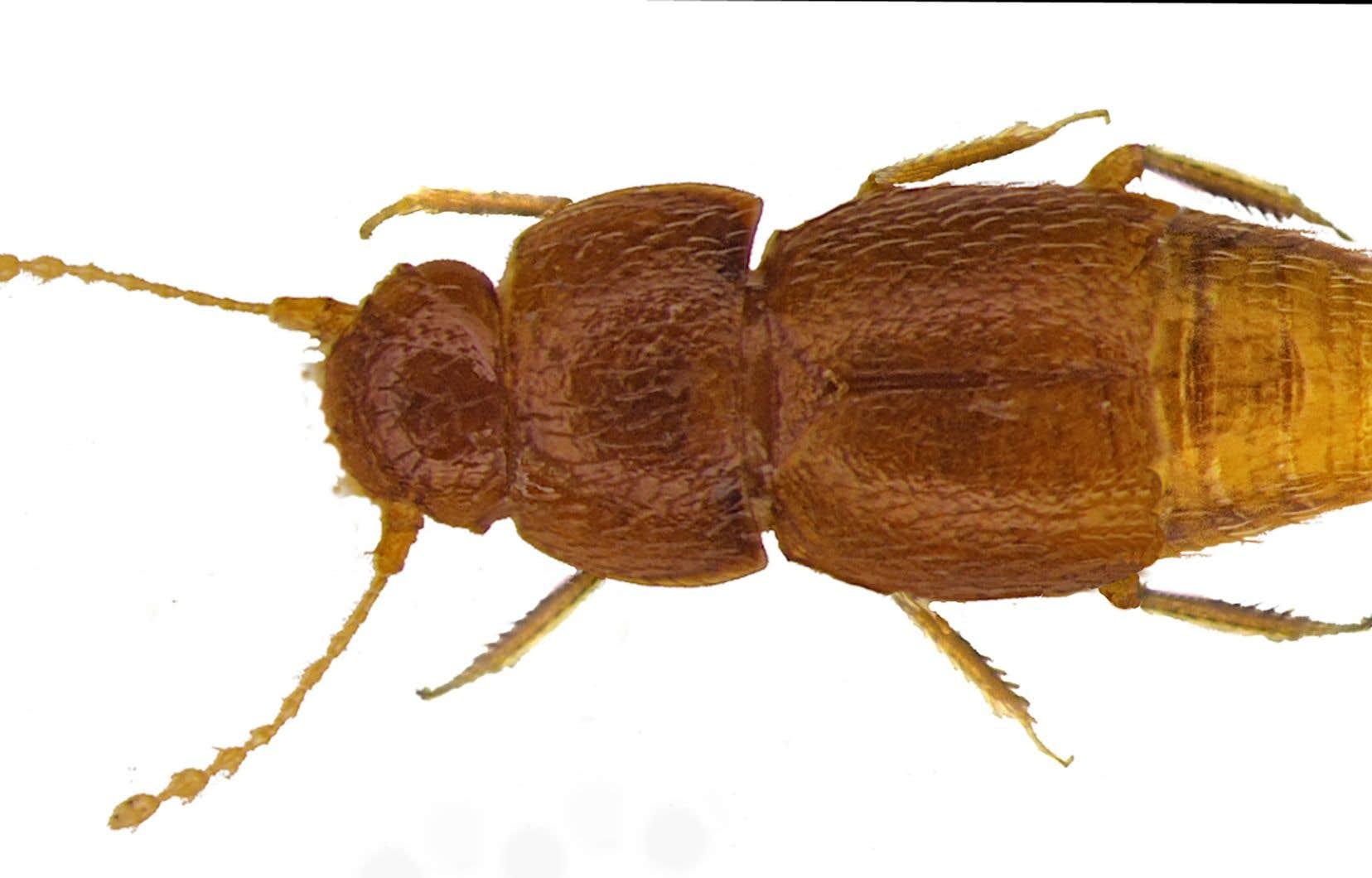 <em>Nelloptodes gretae</em> mesure moins d'un millimètre de long et ne possède ni yeux ni ailes.