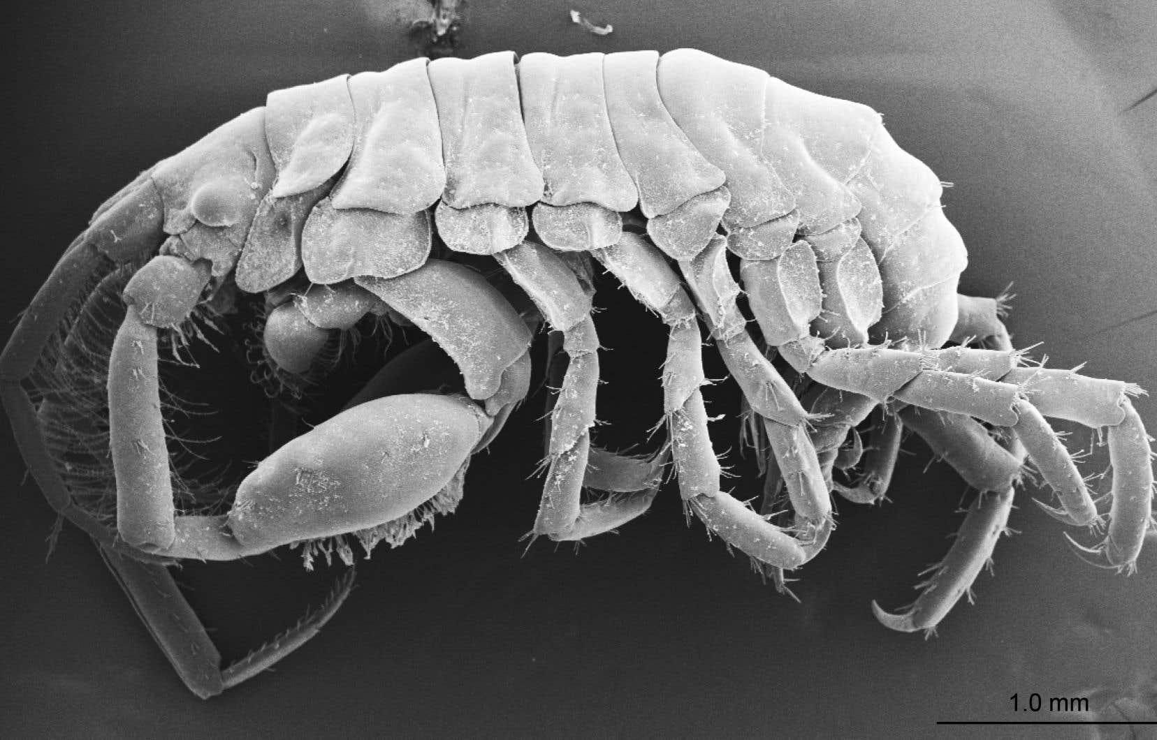 La nouvelle espèce de crustacémesure à peine cinq millimètres de long.