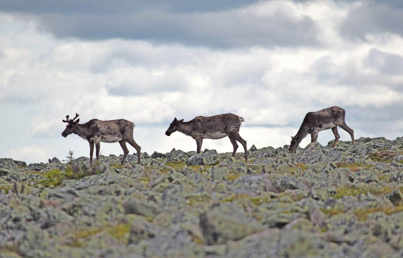Des caribous aperçus sur le mont Jacques-Cartier, en Gaspésie