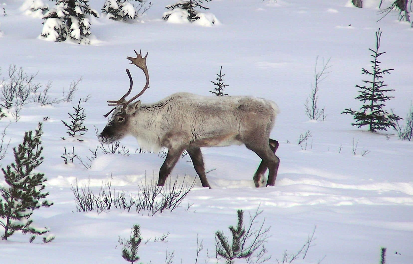 Martin-Hugues St-Laurent dirige depuis 10 ans une équipe de recherche qui mène plusieurs projets sur le caribou forestier et travaille étroitement avec les experts du ministère des Forêts, de la Faune et des Parcs.