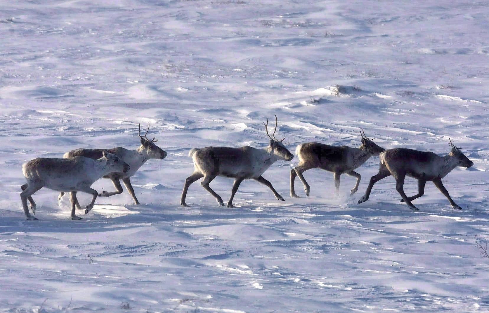En vertu de la Loi sur les espèces menacées ou vulnérables du Québec, le caribou migrateur ne bénéficie d'«aucune désignation», et le gouvernement n'a toujours pas décidé s'il ira de l'avant avec une inscription comme espèce «menacée», comme c'est le cas pour le caribou forestier.