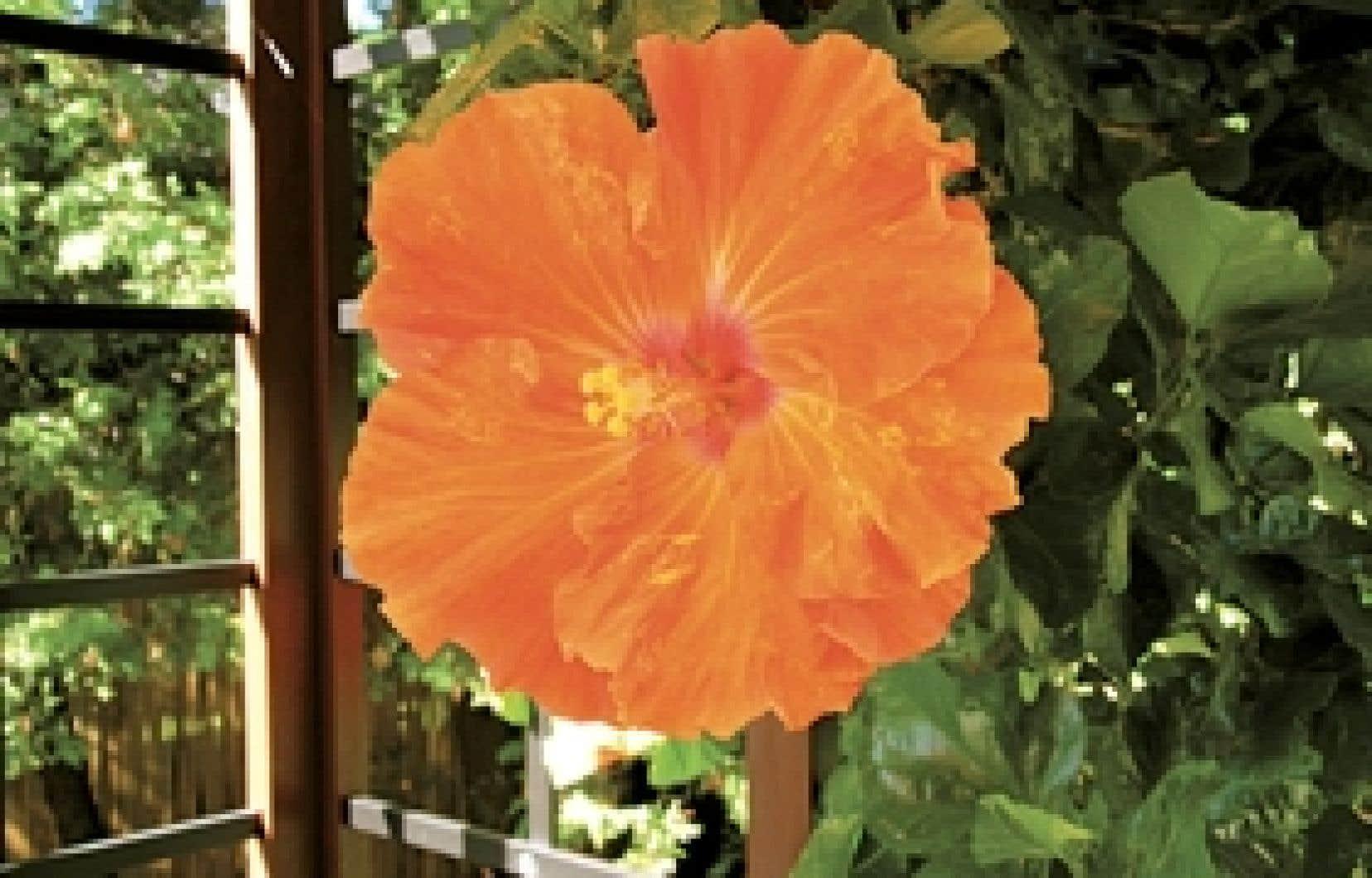 Aujourd'hui emblème d'Hawaï et de la Malaisie, l'hibiscus serait d'origine chinoise.