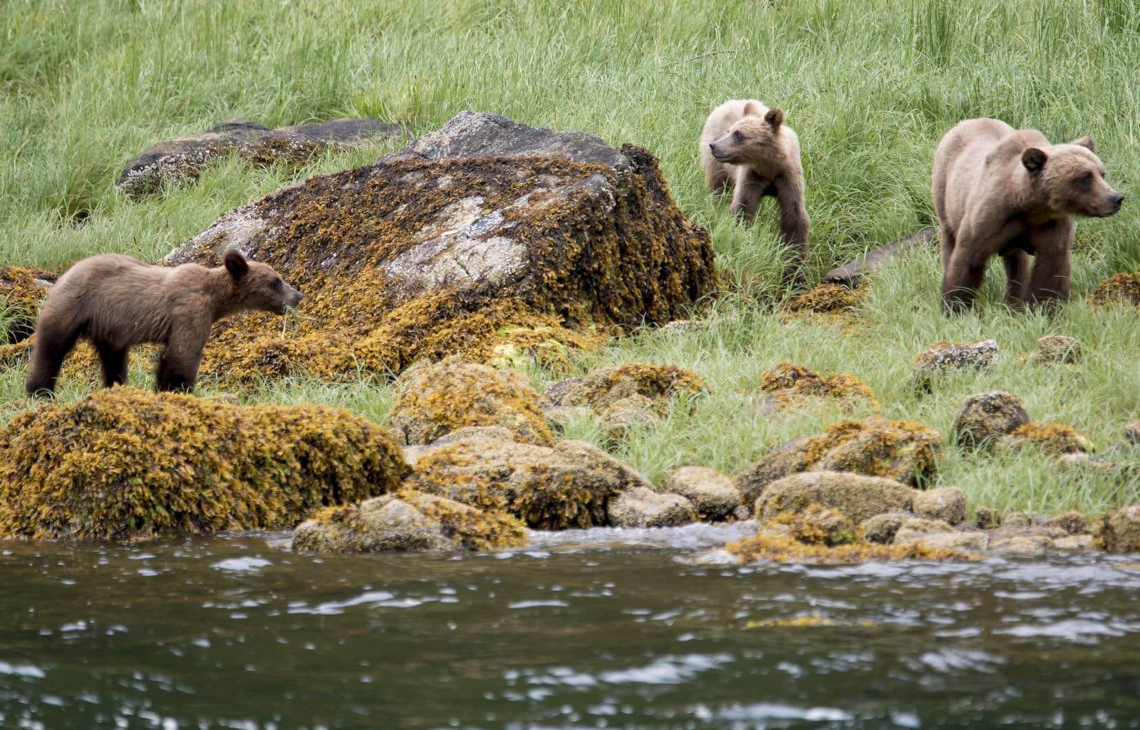 Les grizzlis ont perdu une partie importante de leur habitat à cause de l'activité humaine en Amérique du Nord, mais ils migrent vers le nord depuis plusieurs années, explique le professeur Doug Clark.