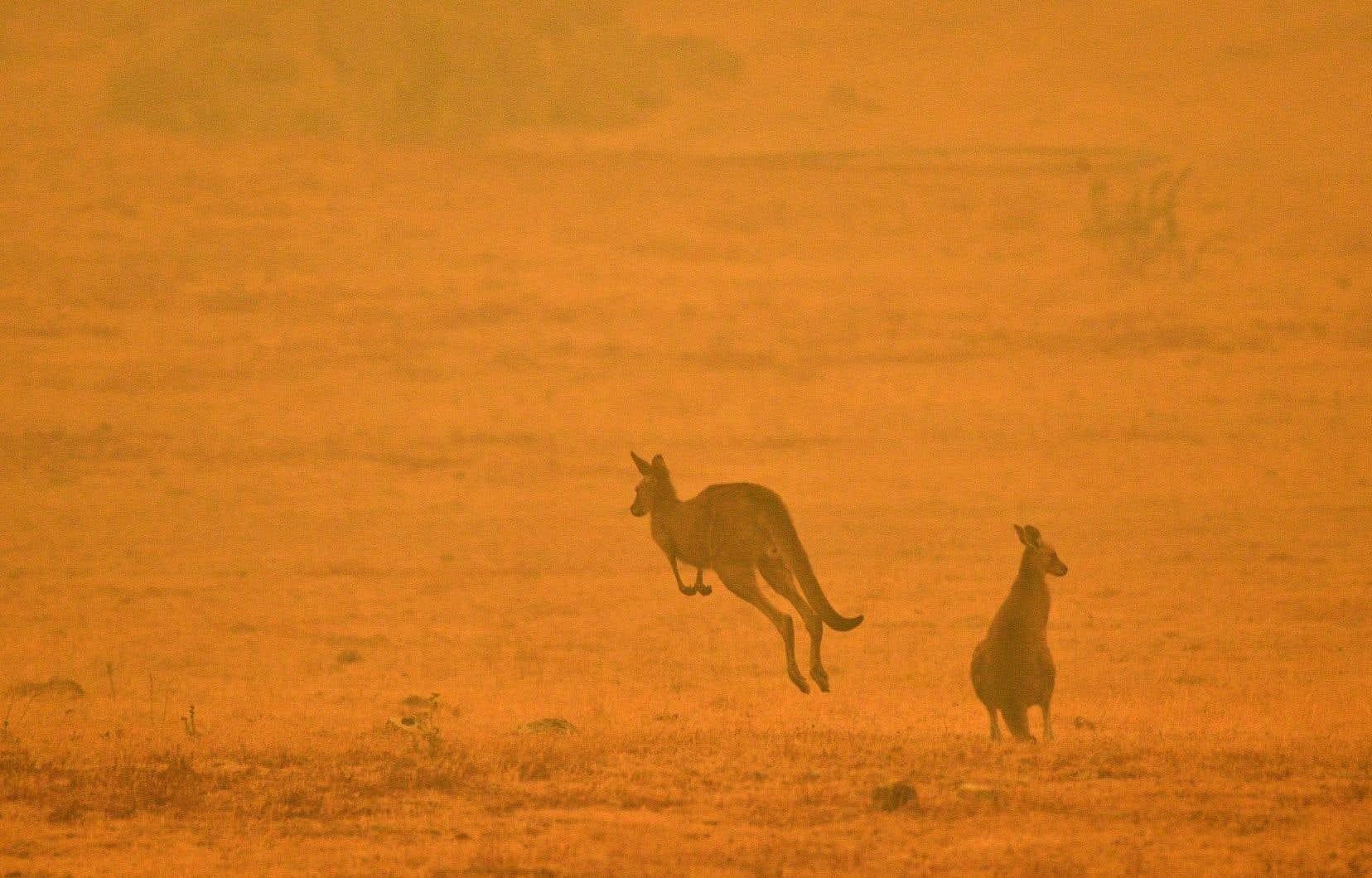 Des espèces iconiques de l'Australie comme le kangourou, le wallaby et le koala sont menacées par les incendies qui ravagent le pays.