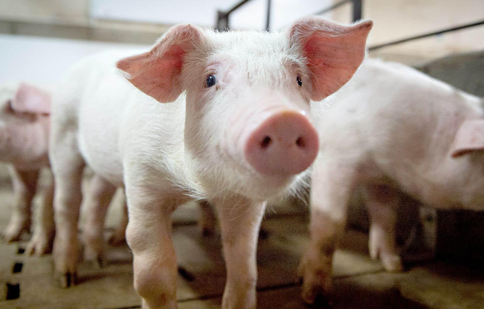 L'afflux supplémentaire d'importations américaines en Chine pourrait compliquer la vie des exportateurs québécois, notamment de porc et de grains.