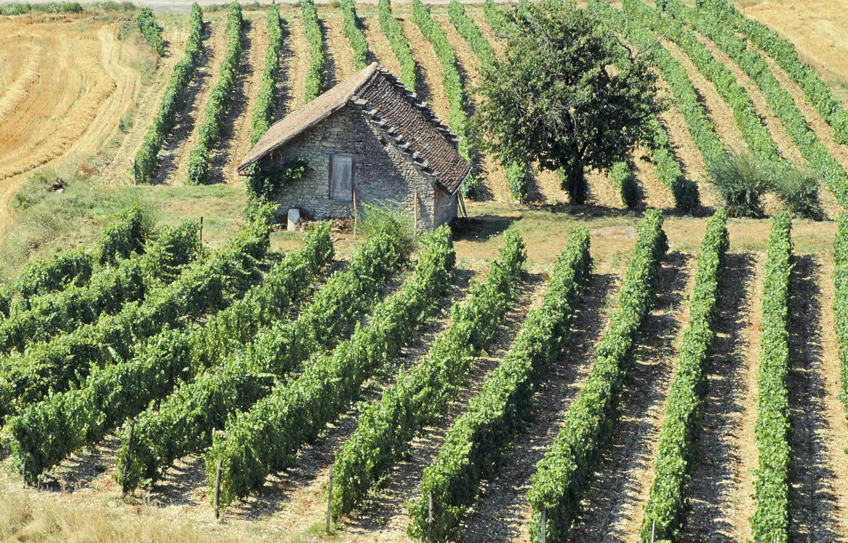 En France, les effets du réchauffement sur la viticulture en matière desurfaces perdues et gagnées devraient s'annuler.