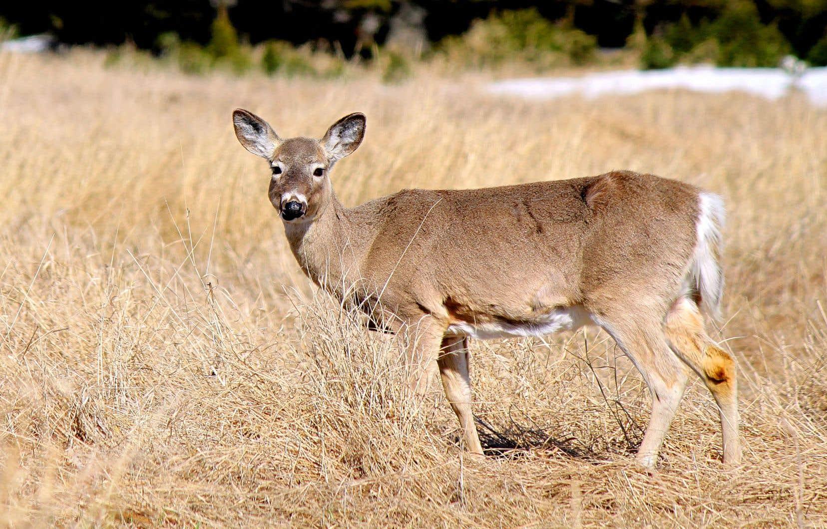 Les cerfs ont été introduits sur l'île à la fin du XIXesiècle par le propriétaire de l'époque, Henri Menier, et n'y ont pas de prédateurs naturels.