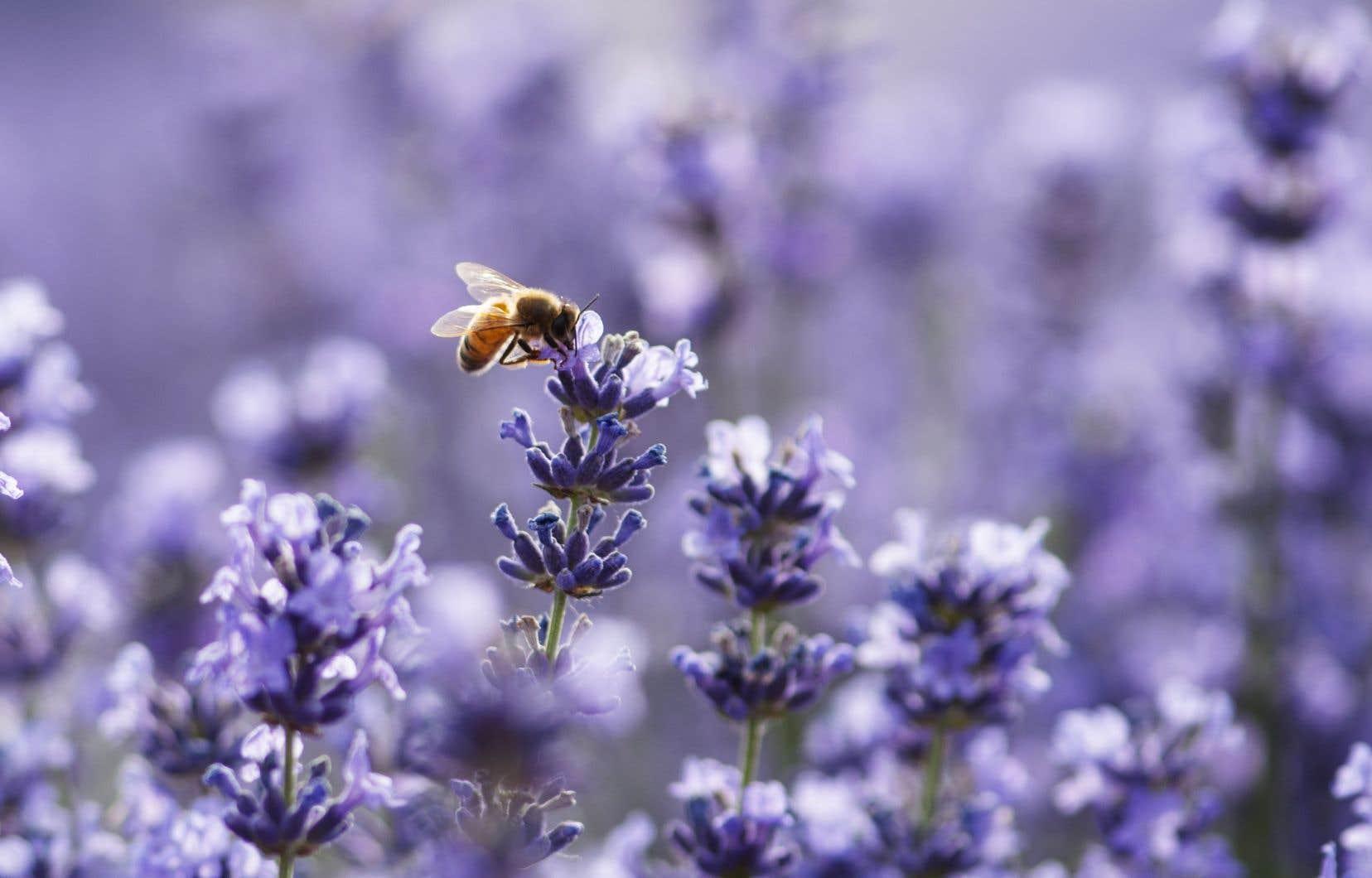 Les bourdons jouent un rôle crucial pour l'agriculture. Selon les Nations Unies, environ un tiers des récoltes mondiales dépendent des pollinisateurs.