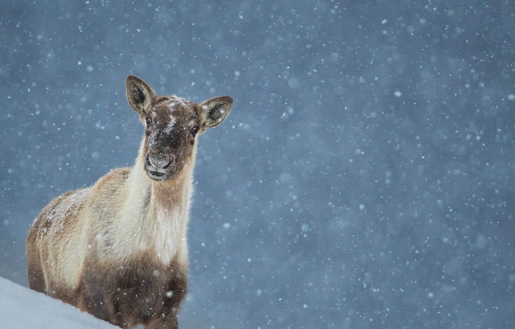 Le Québec compte trois hardes isolées de caribous forestiers, dont celle de la Gaspésie (notre photo). Elles sont toutes au seuil de l'extinction.