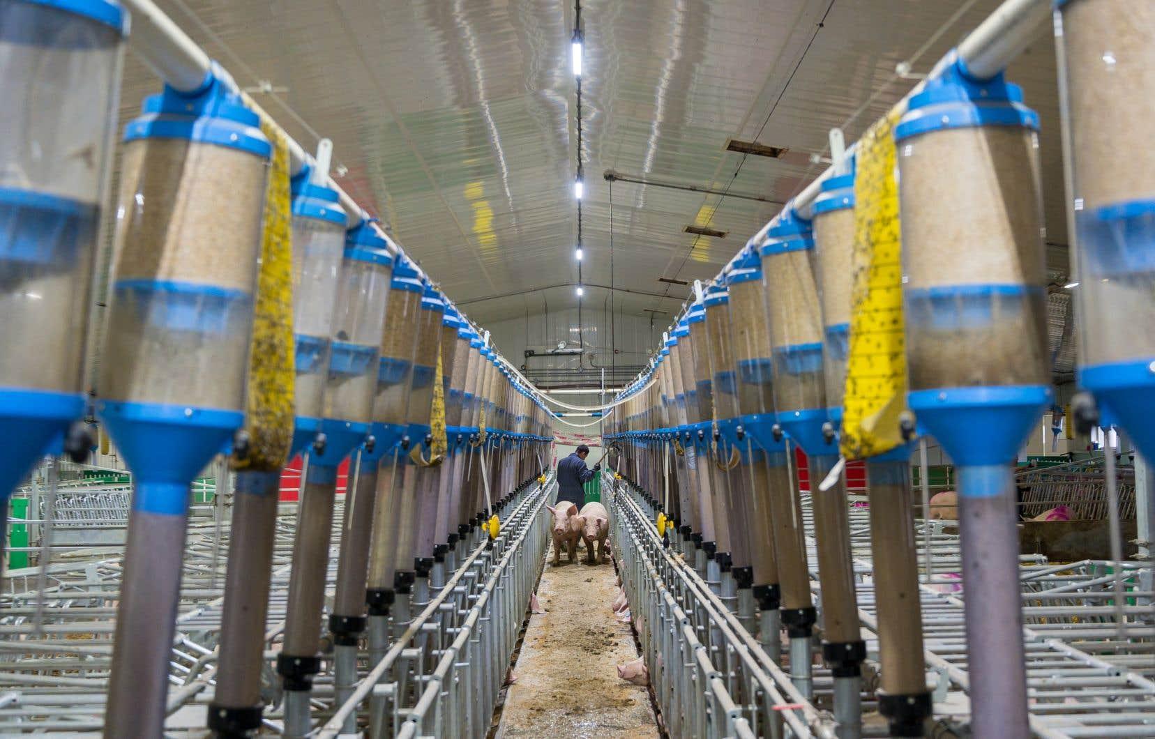 La maternité de la porcherie de l'entreprise Viandes biologiques de Charlevoix est chauffé par un système à la biomasse, beaucoup moins énergivore qu'un système conventionnel.