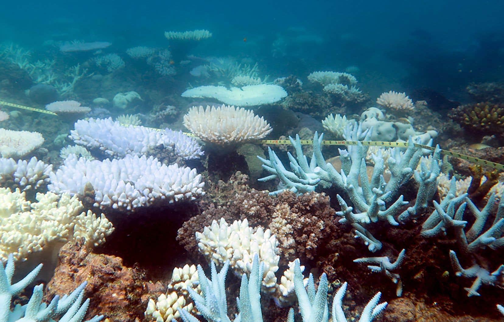 Les récifs peuvent s'en remettre si l'eau refroidit, mais ils peuvent aussi mourir si le blanchissement persiste.