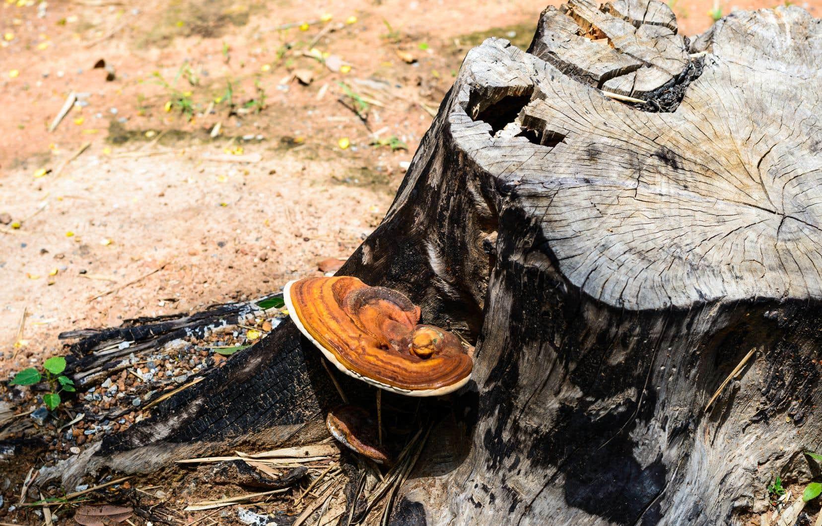 Un champignon <em>Trametes versicolor</em>. Selon le chercheur David Dussault, la mycoremédiation permet de diminuer les coûts reliés à l'enfouissement des déchets.