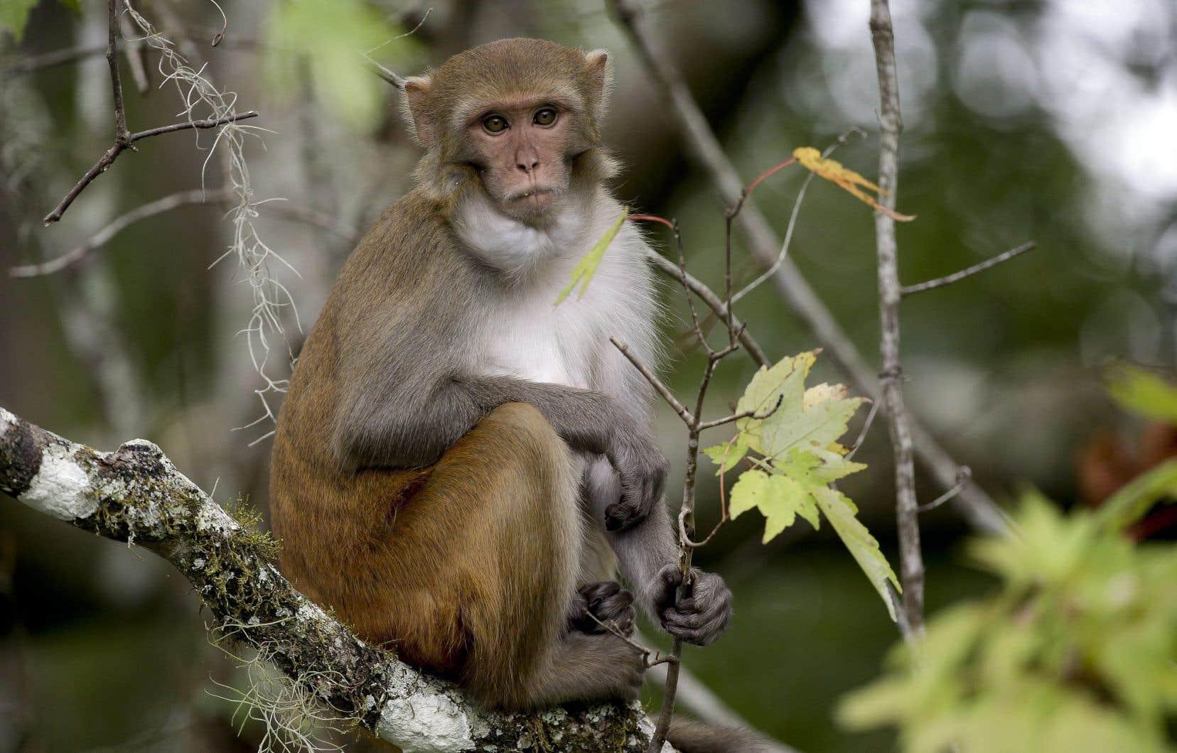 <p>Des chercheurs chinois ont donné à des macaques rhésus trois doses d'un vaccin composé de particules inertes provenant du SRAS-CoV-2.</p>