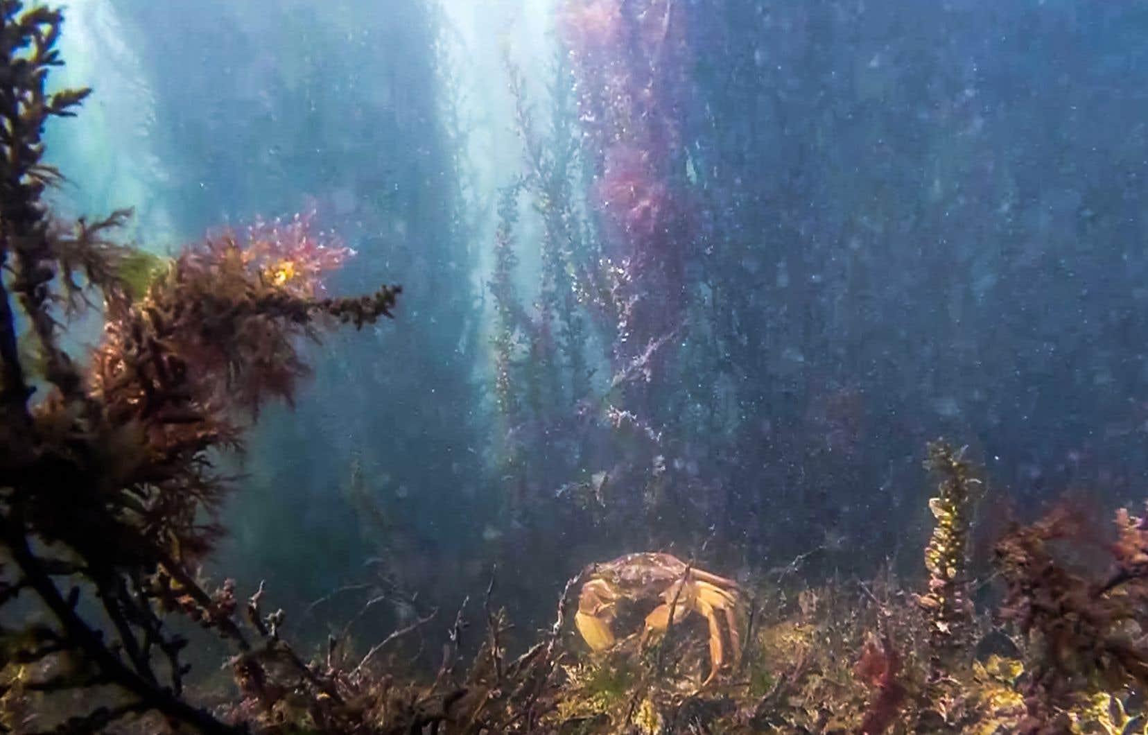 Le zoologiste Andrea Mangoni a pu observer la flore et la faune sous-marines de Venise, dont ce crabe.