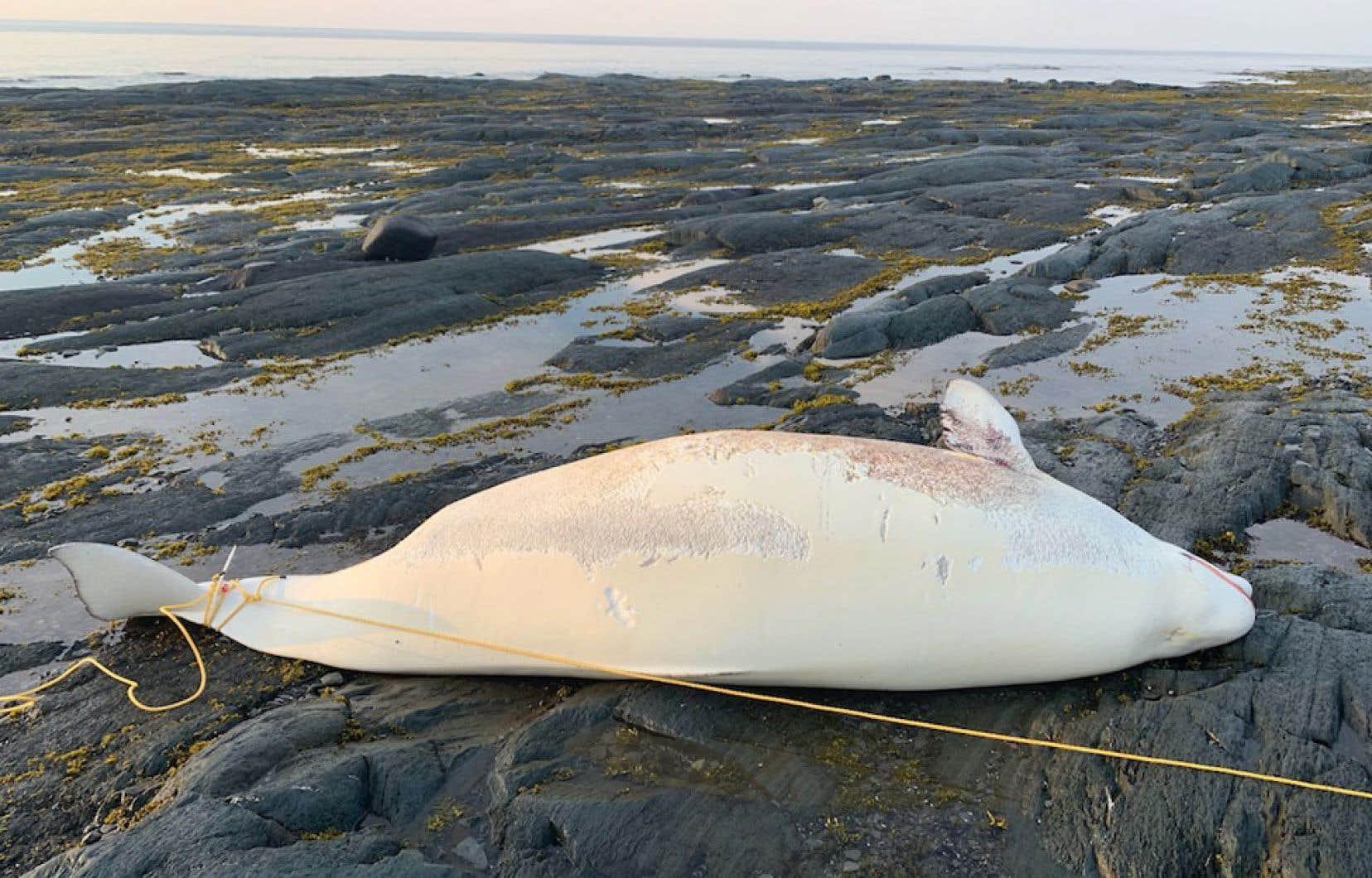 Cette femelle connue depuis 1990 a été retrouvée morte. Elle serait décédée en tentant de donner naissance.