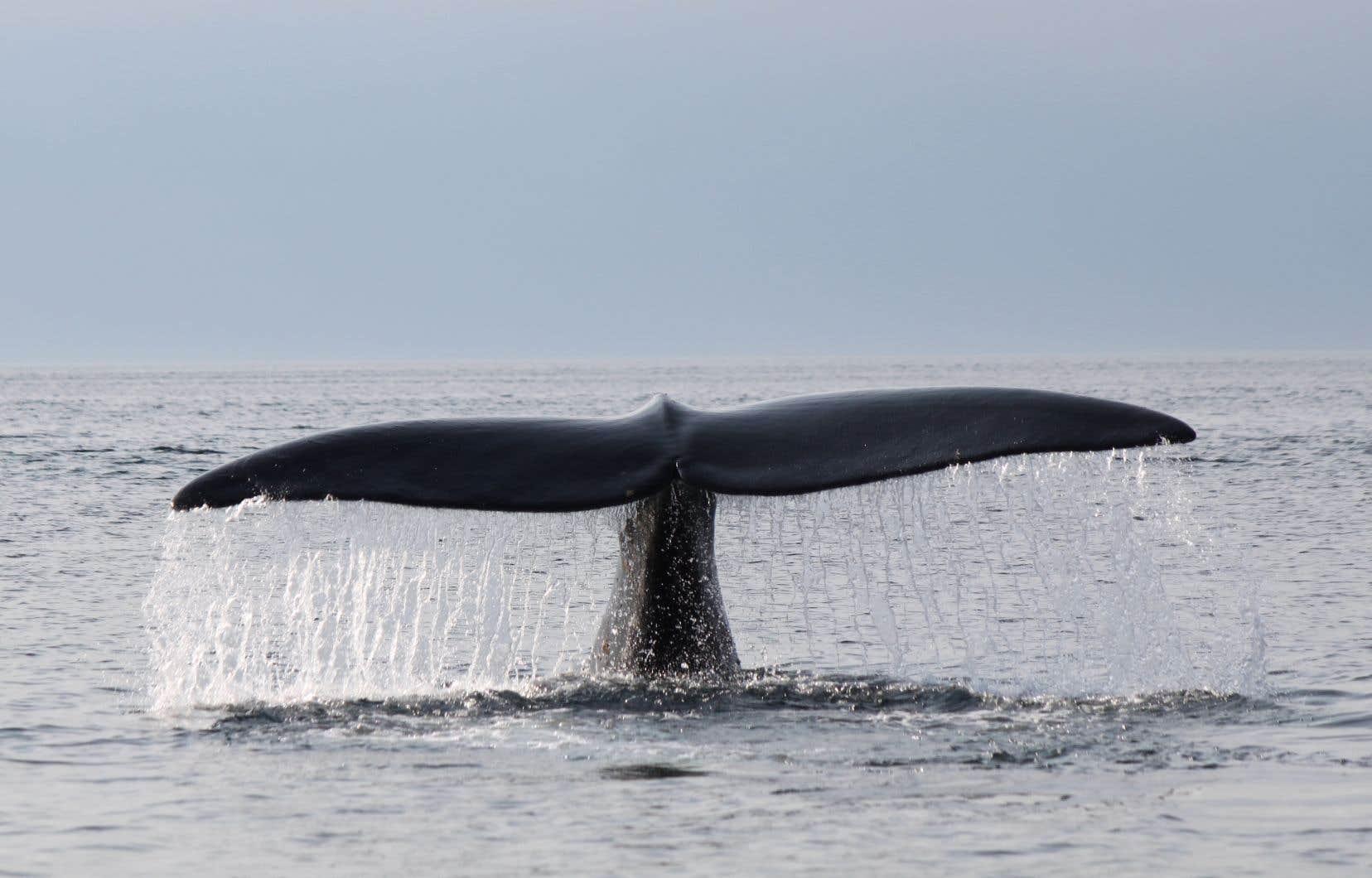 Les opérations de sauvetage de baleines empêtrées et les nécropsies des animaux retrouvés morts ont été menées à plusieurs reprises en 2017 et en 2019.