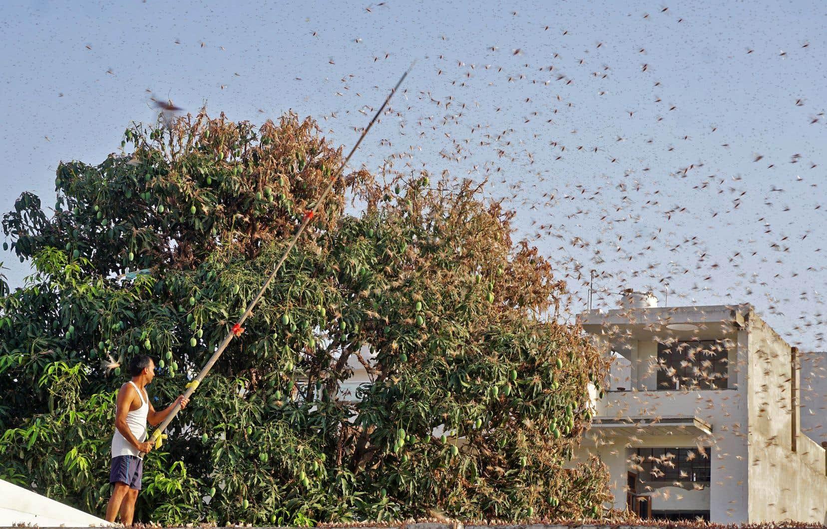 <p>Un grand essaim de criquets a déferlé mardi sur des quartiers d'habitation de Jaipur, la capitale du Rajasthan.</p>