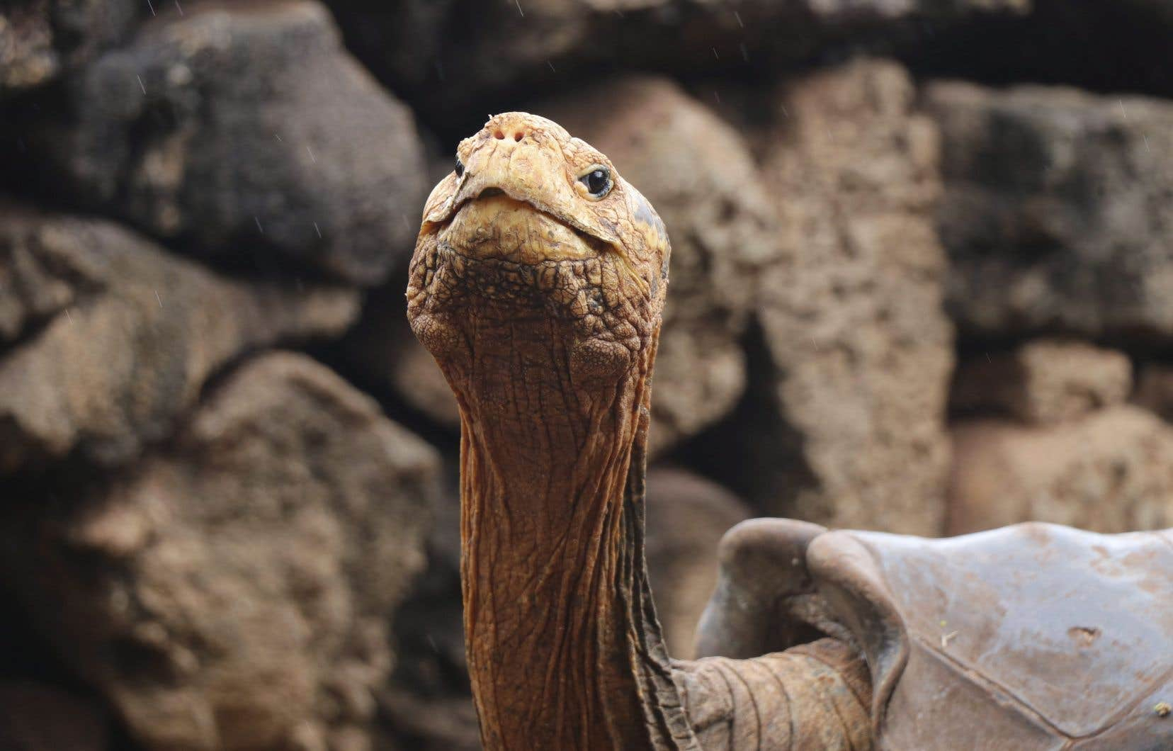 Sexuellement très actif, Diego a réussi à sauver son espèce du danger d'extinction en engendrant à lui tout seul au moins 40% des bébés tortue qui ont grandi depuis sur l'île Española.